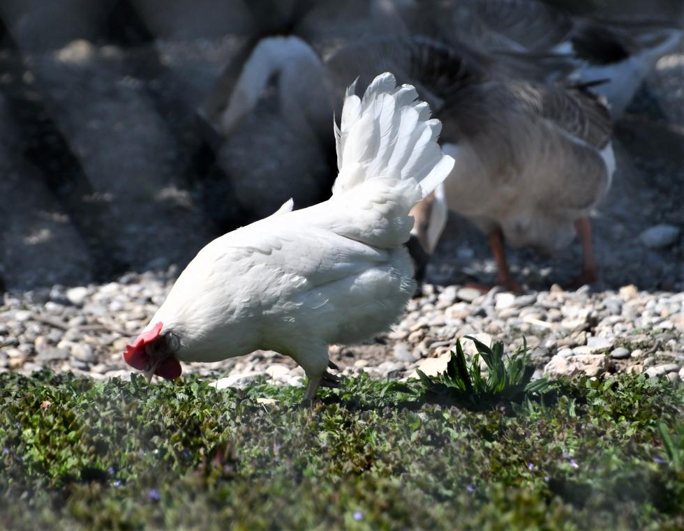 chickens-23.05-1