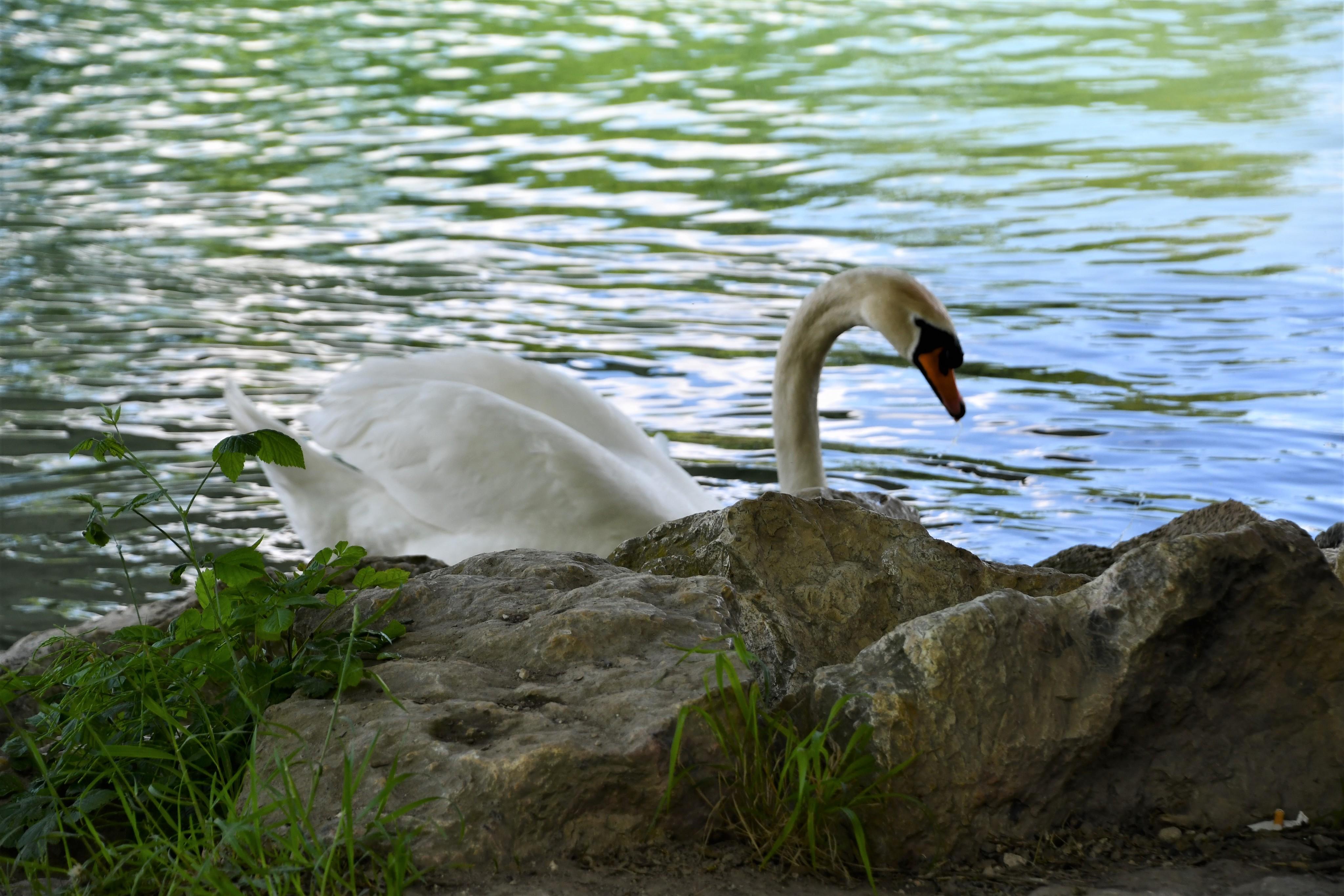swan-30.05-3