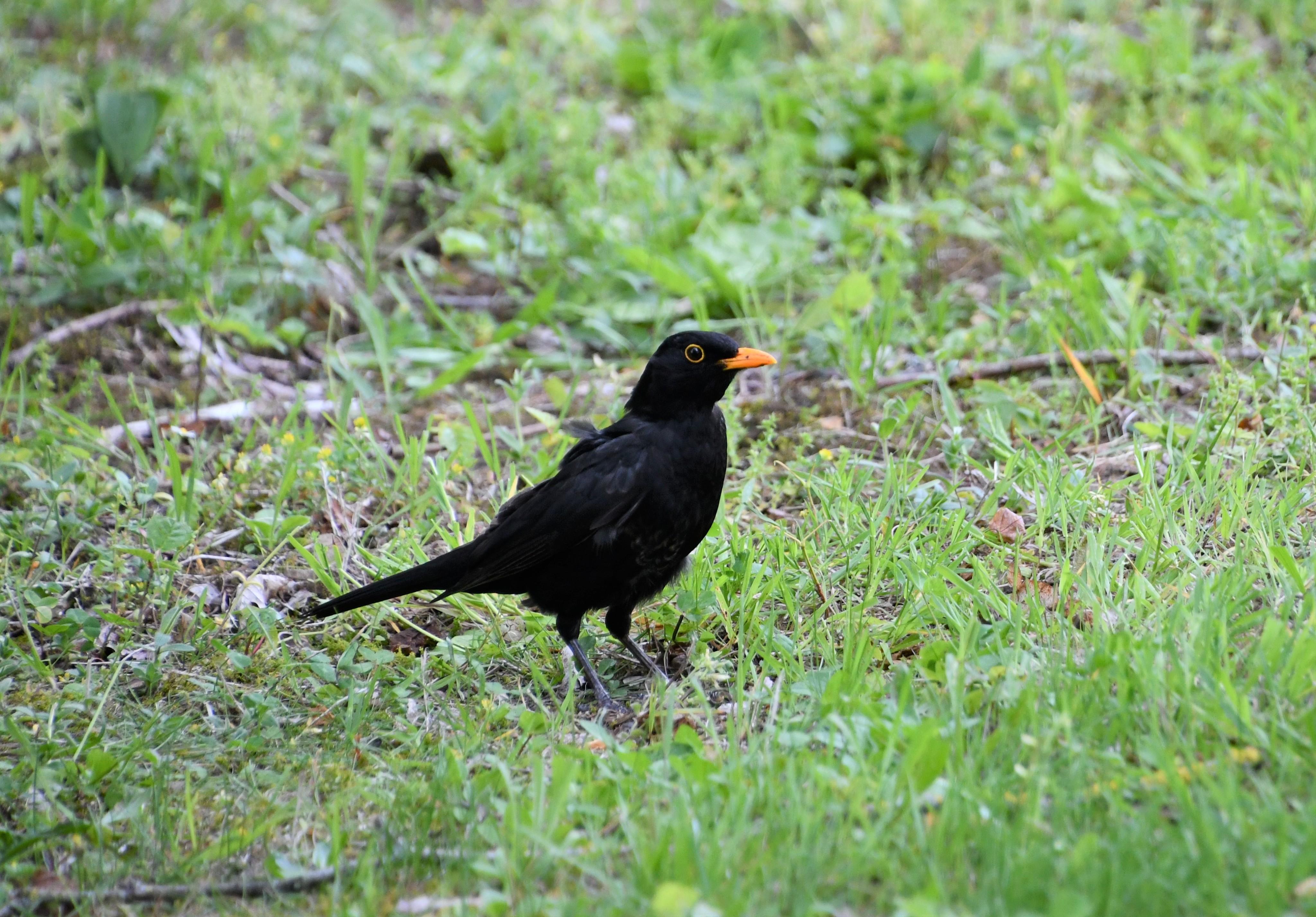 blackbird-04.06-4