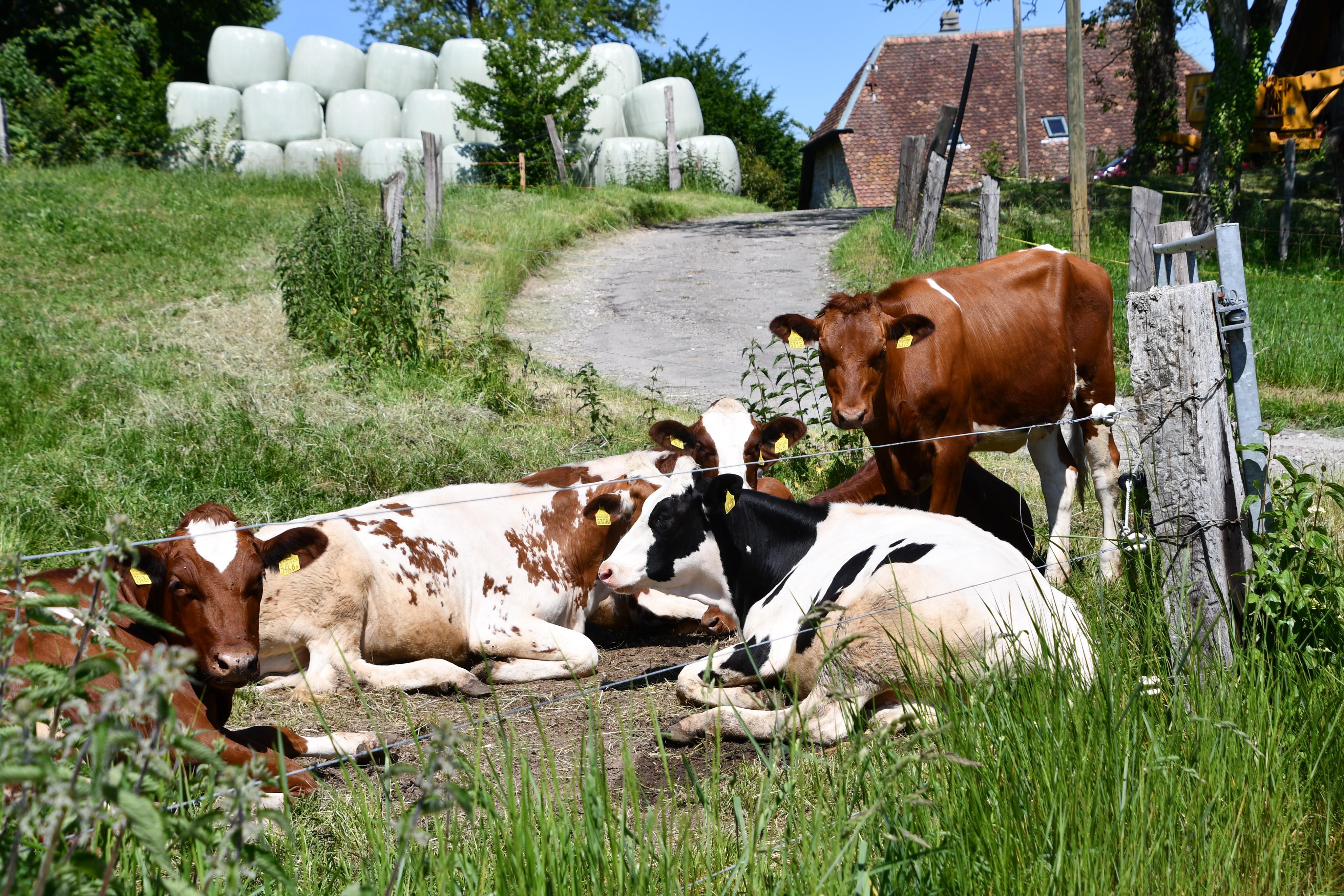 cows-02.06-4