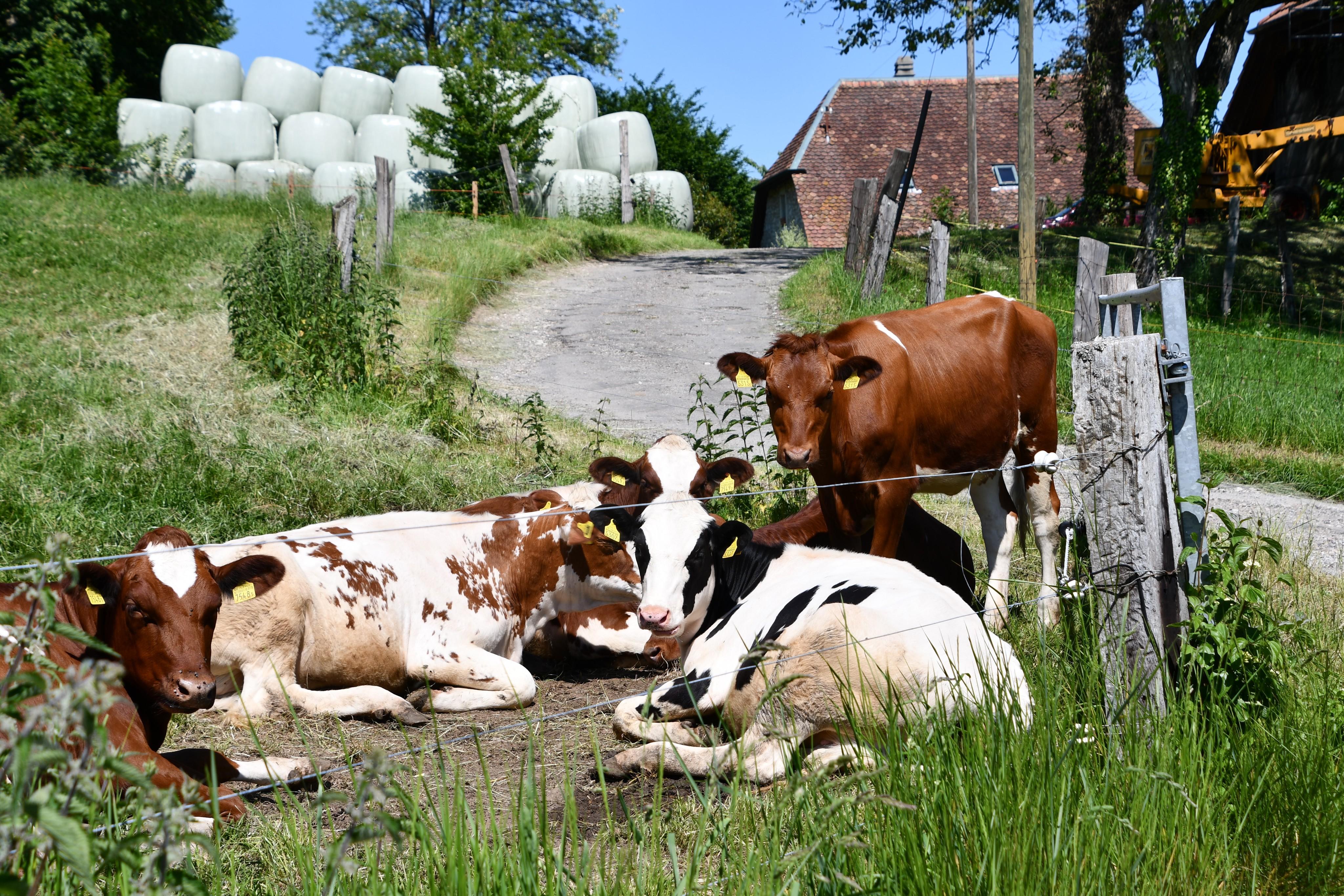 cows-02.06-5