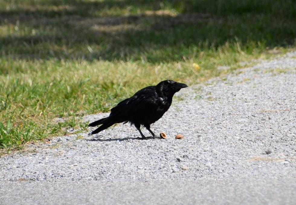 crow-20.06-1-1