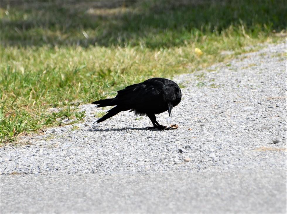 crow-20.06-2