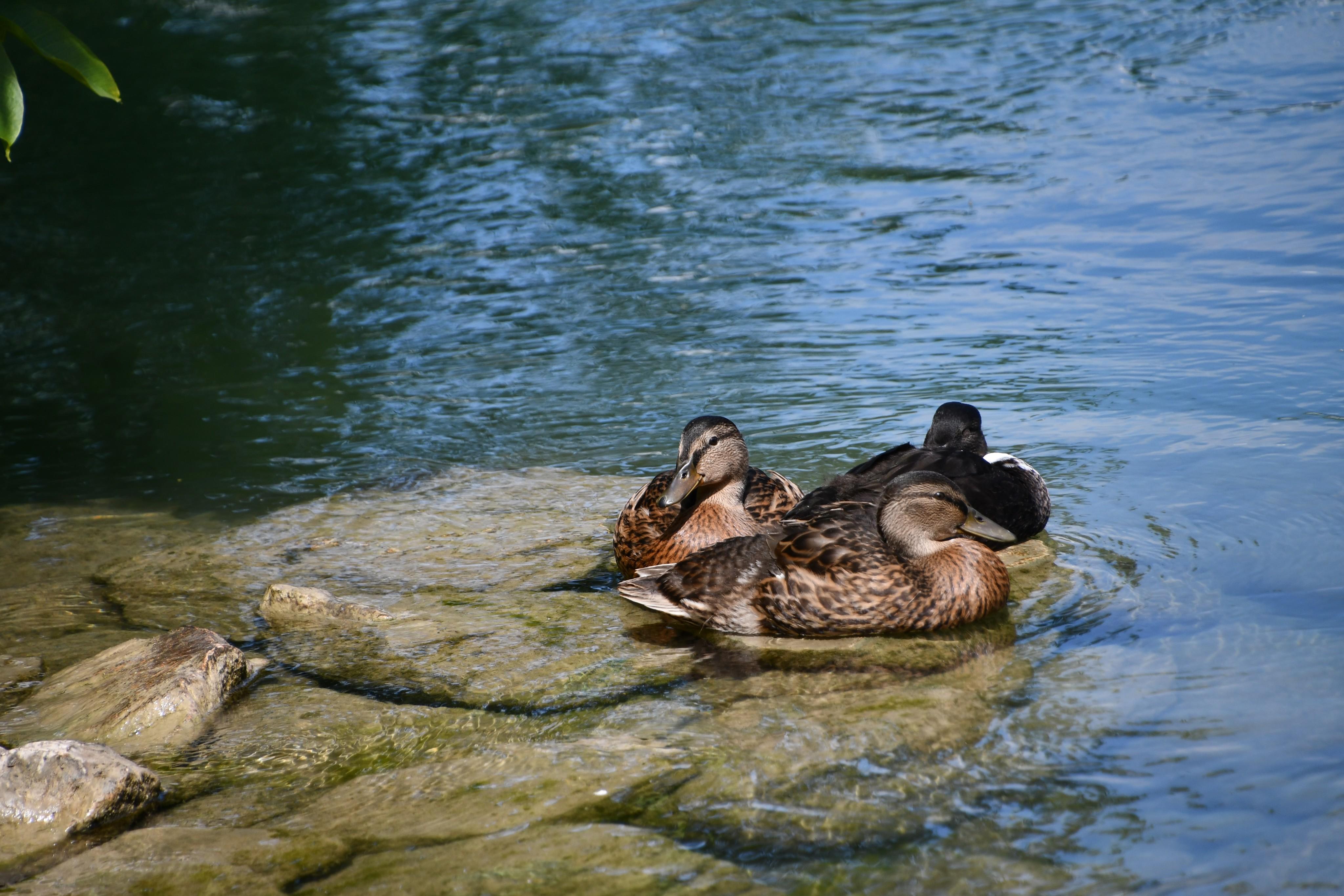 duck-20.06-2