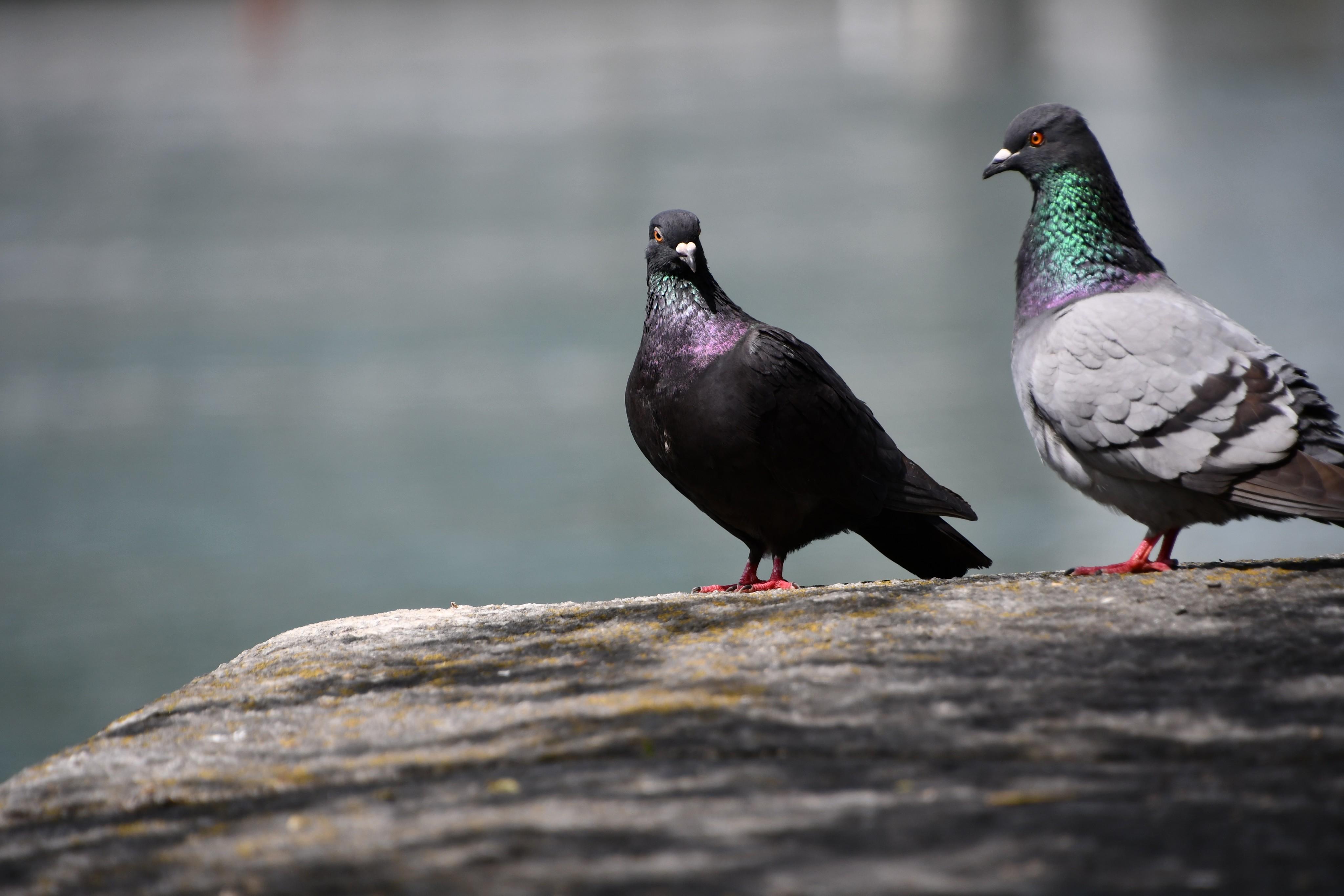 pigeons-20.06-3