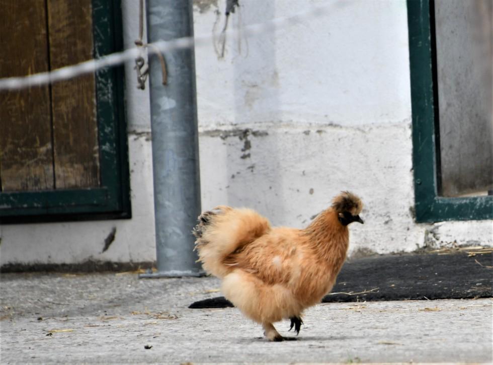 chickens-22.06-1
