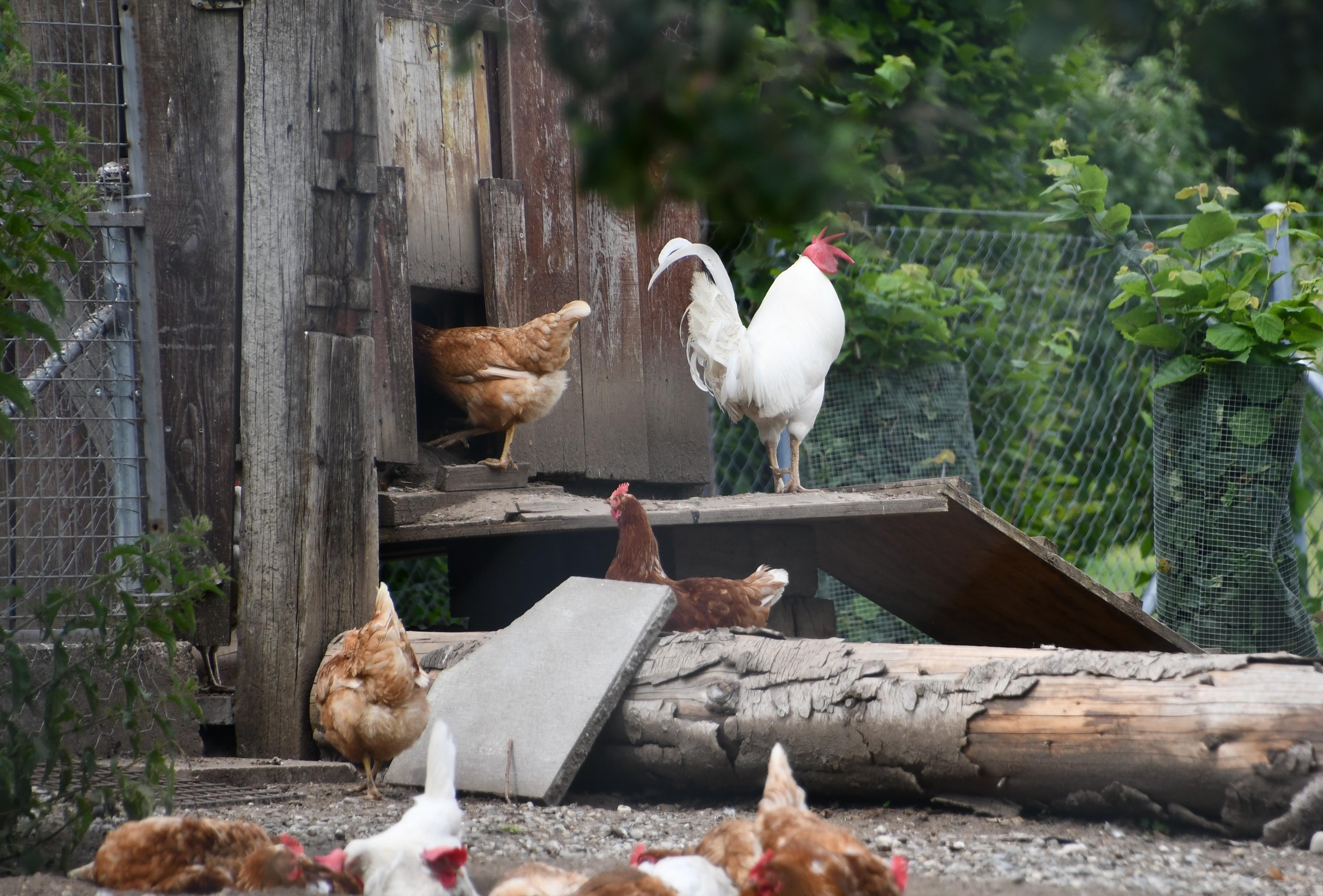 chickens-22.06-3