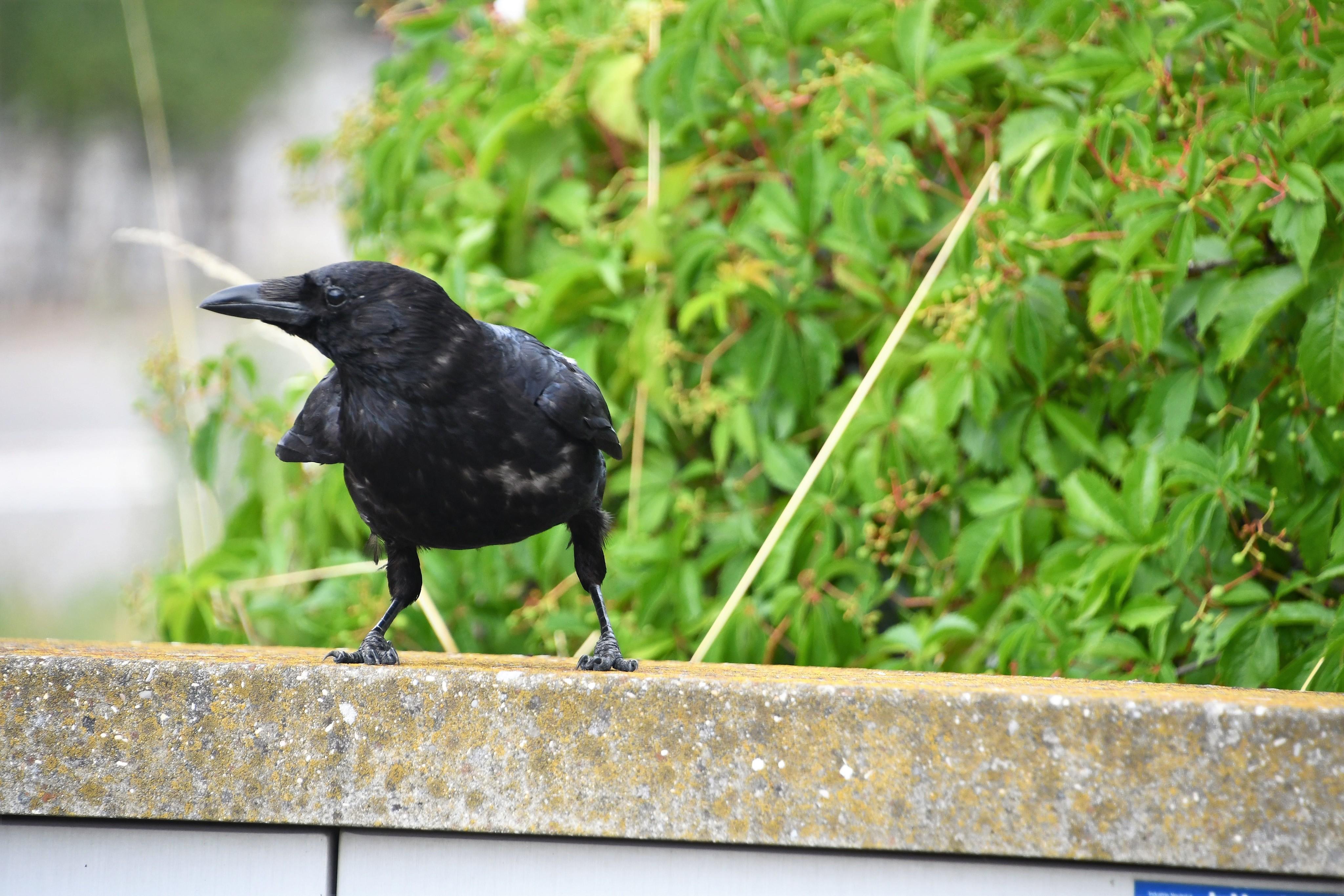 crow-27.07-2