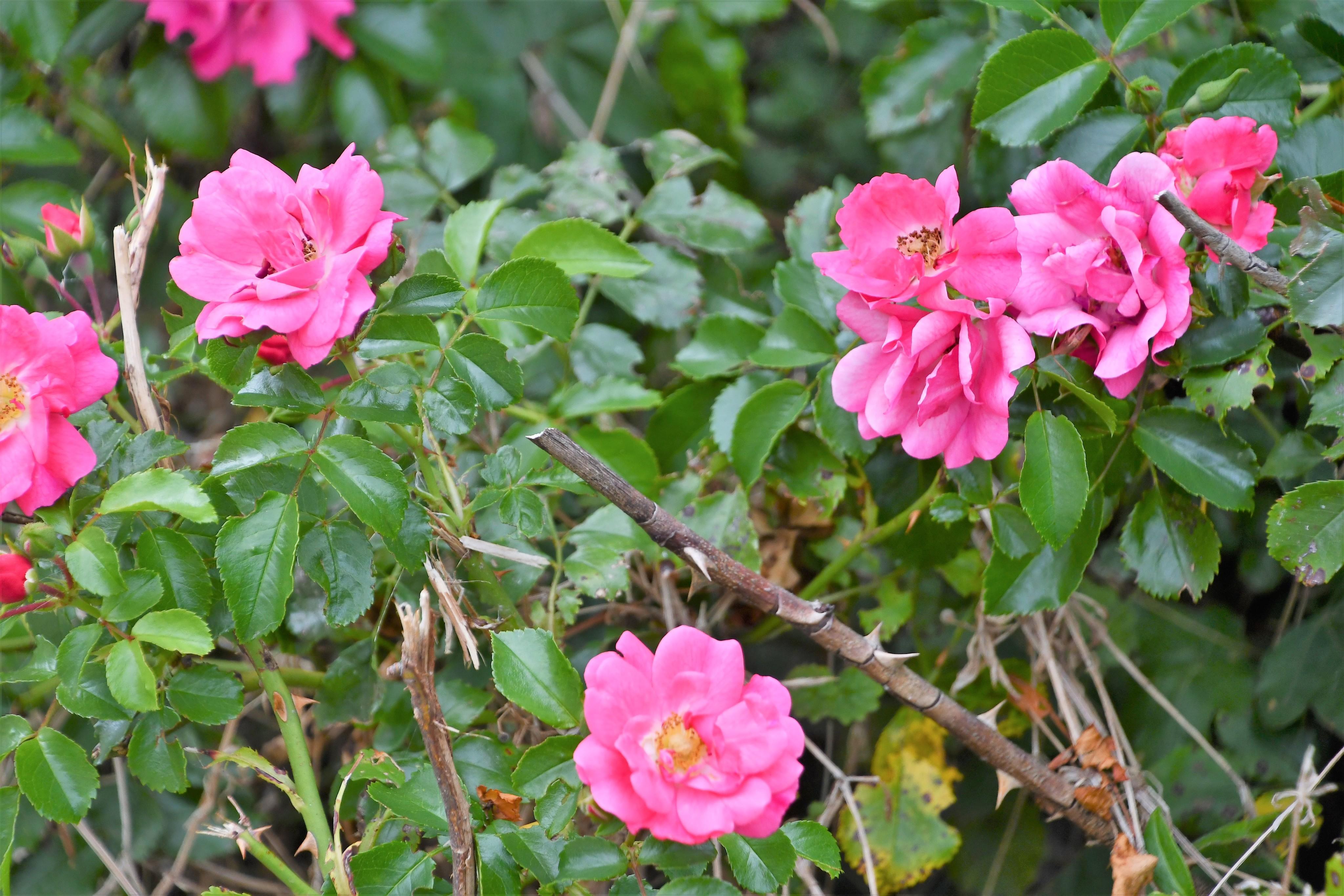 roses-27.07.2019