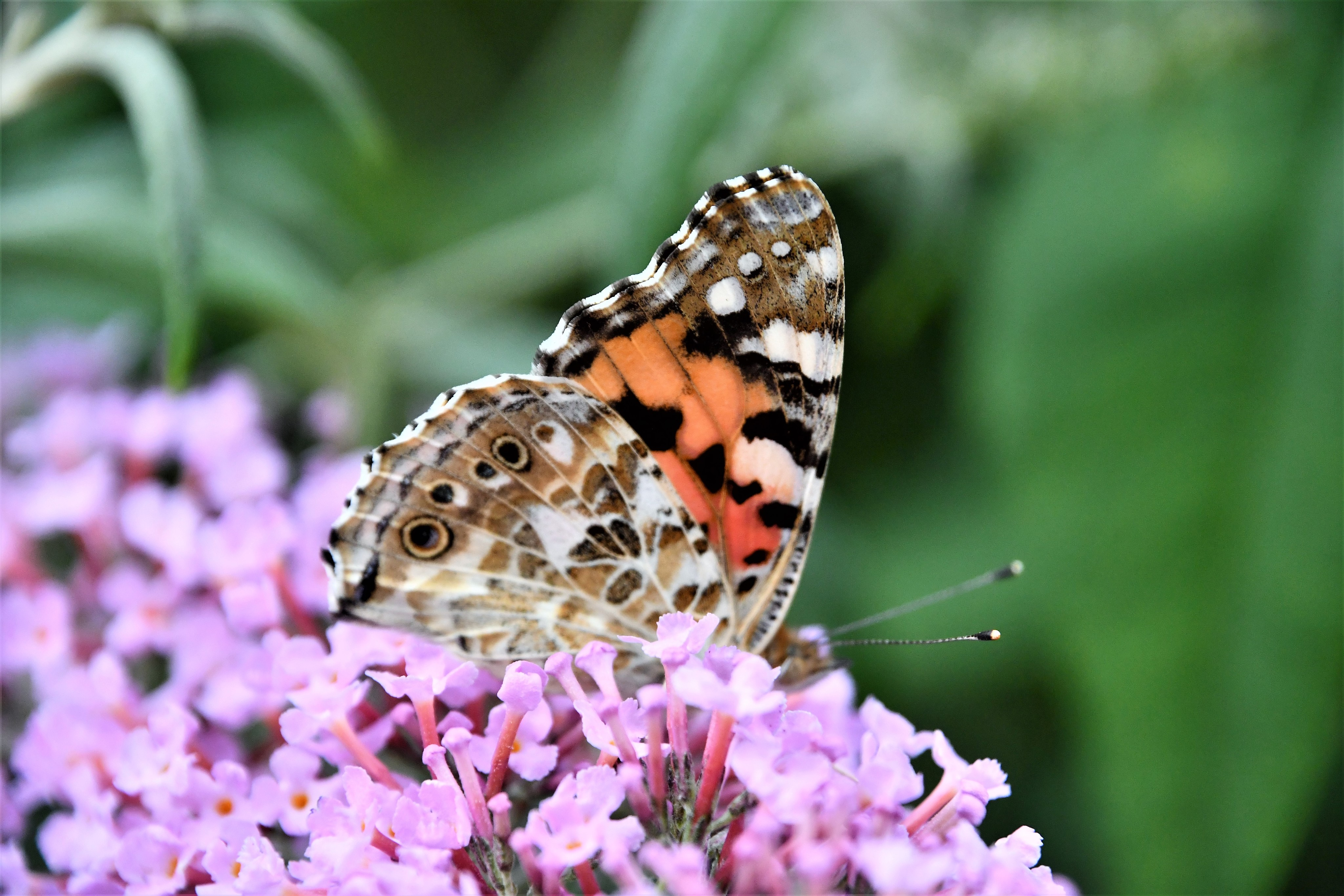 small-totoiseshell-butterfly-25.07-8
