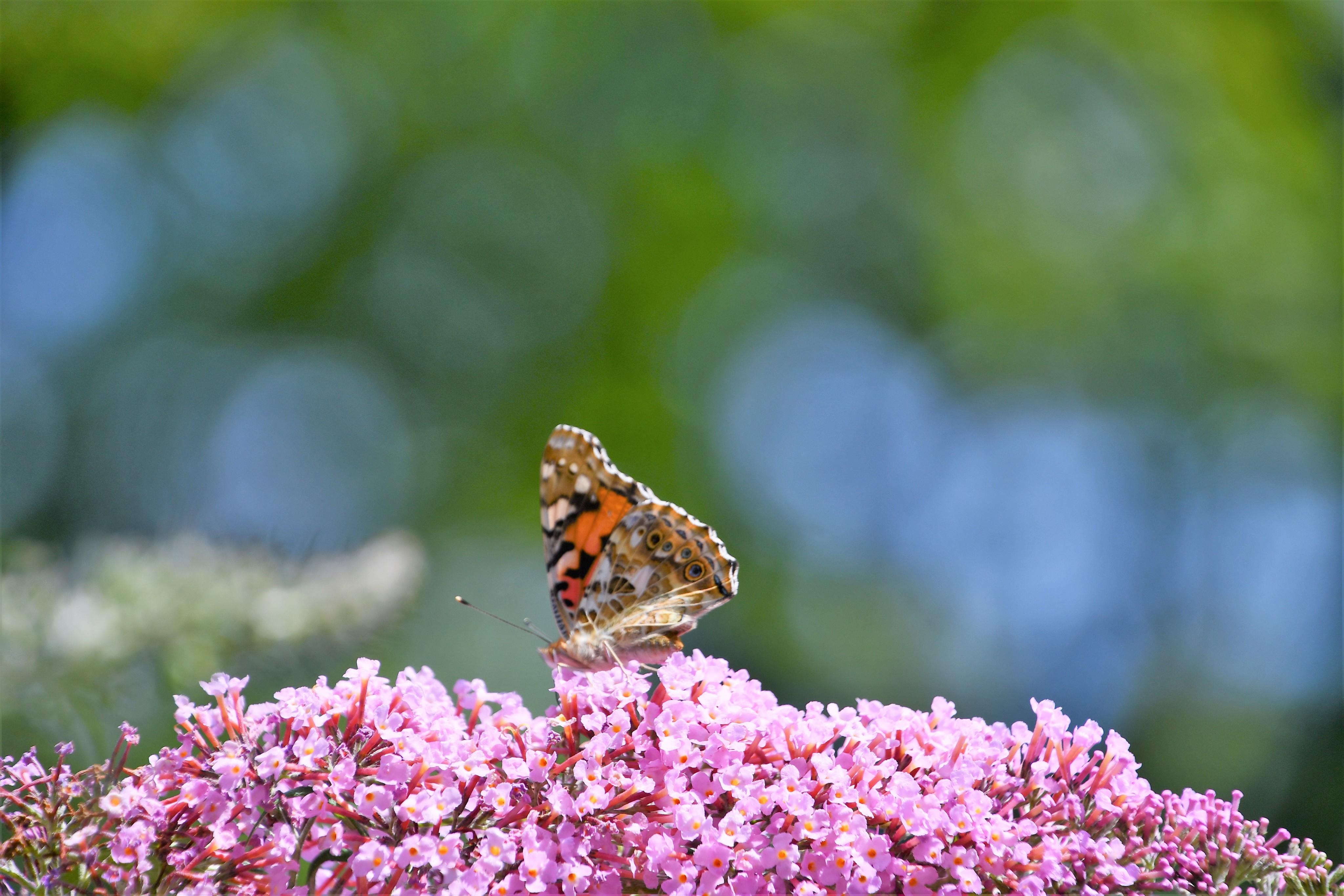 tortoiseshell-butterfly-27.07-5