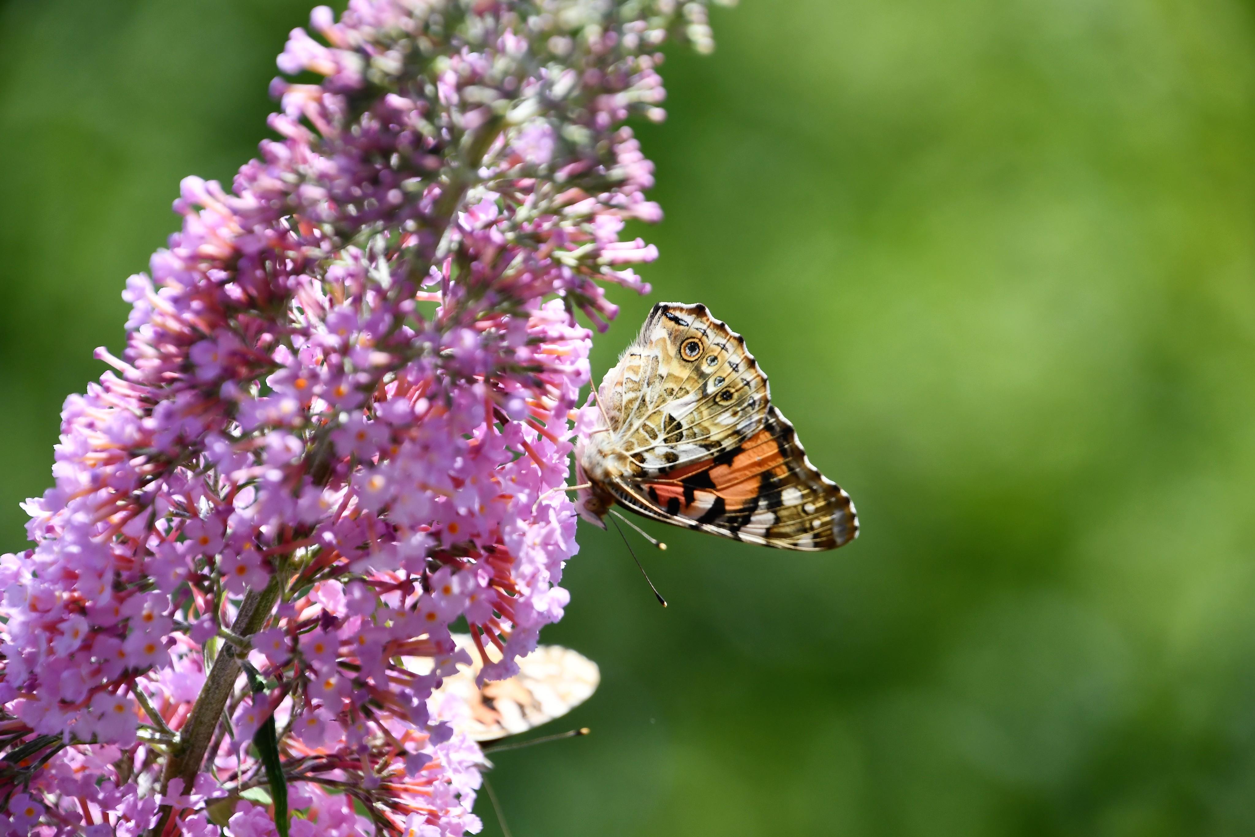 tortoiseshell-butterfly-27.07-8