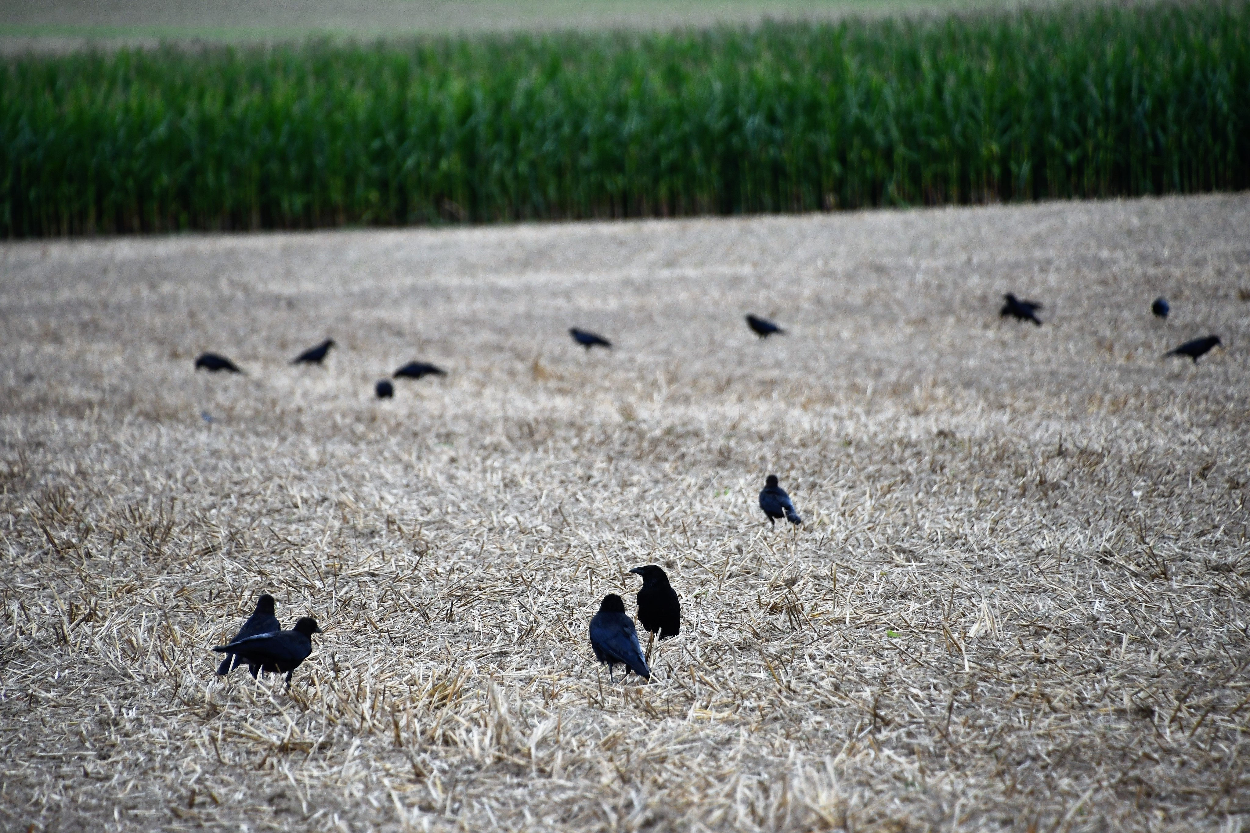 crows-15.08-3