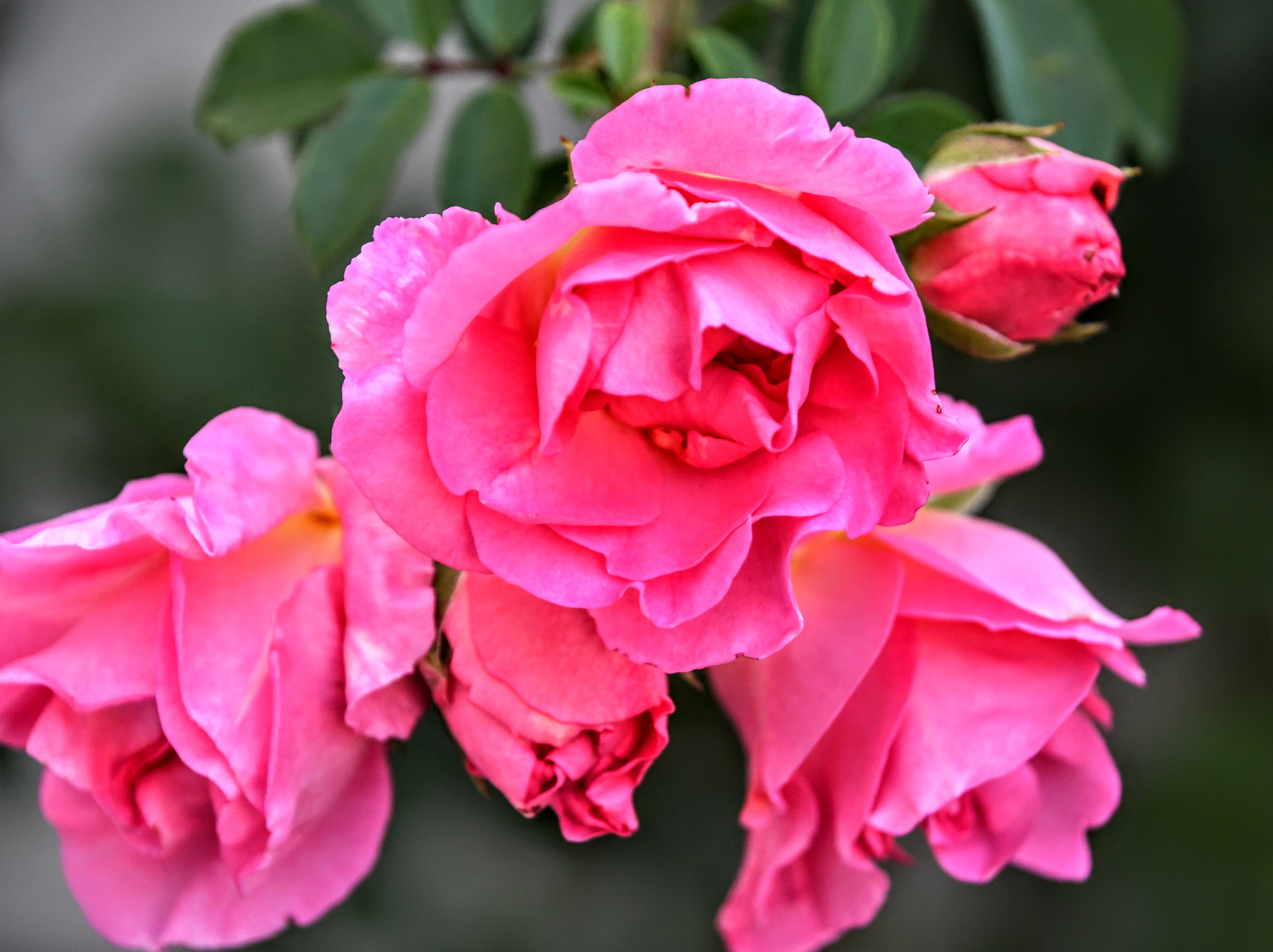 rose-16.08-3