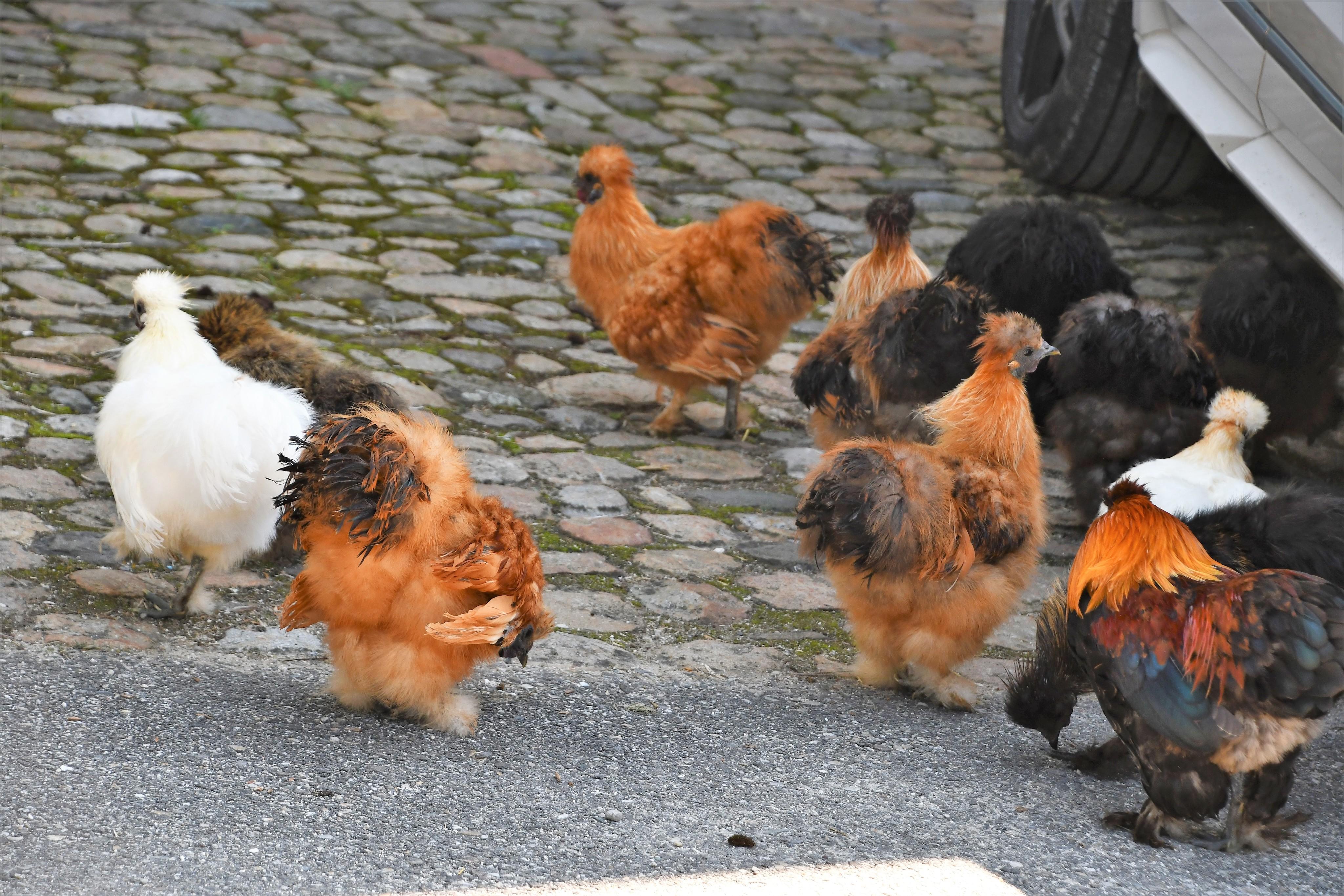 silky-chickens-25.08-10