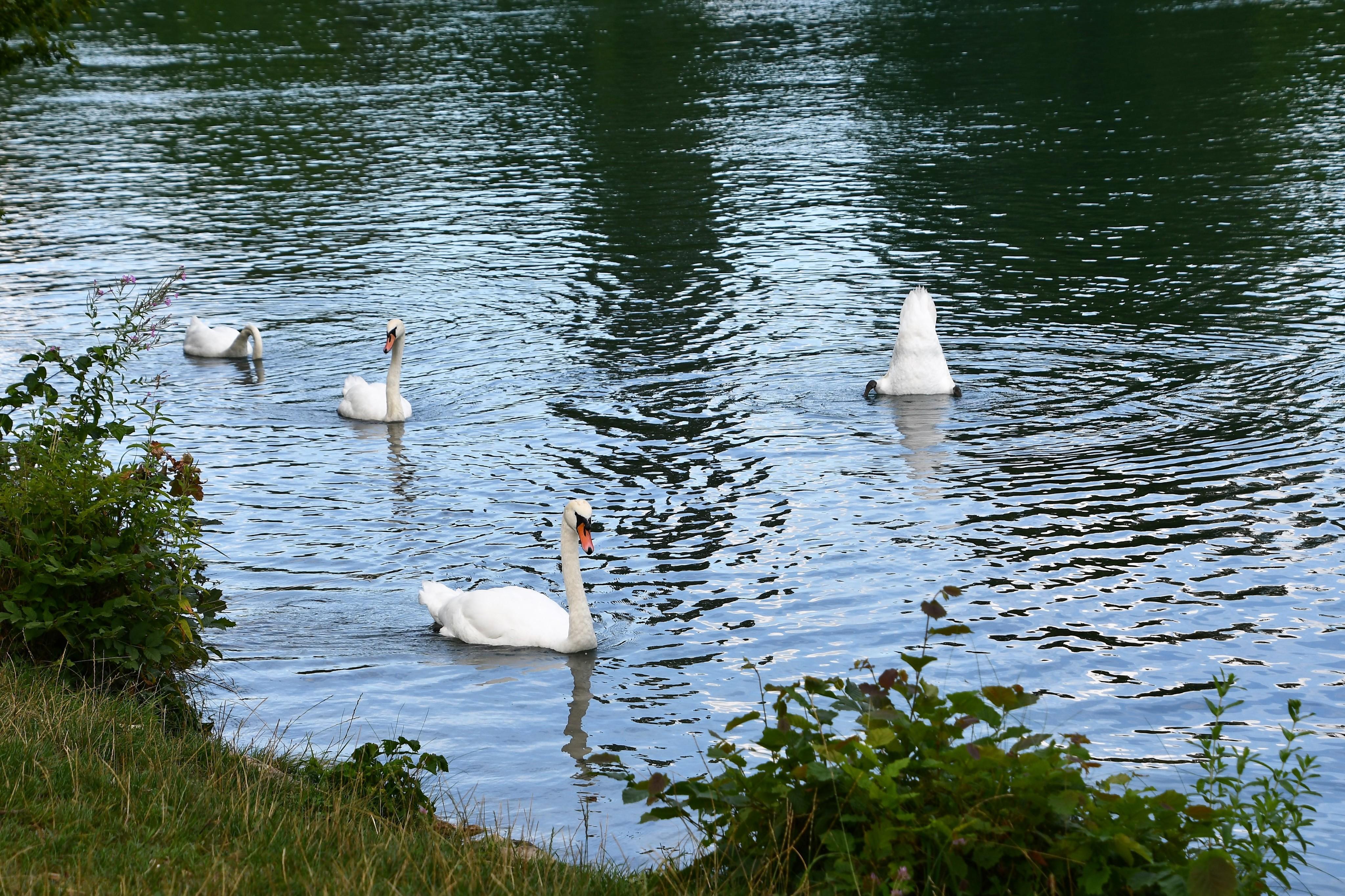 swans-03.08-12