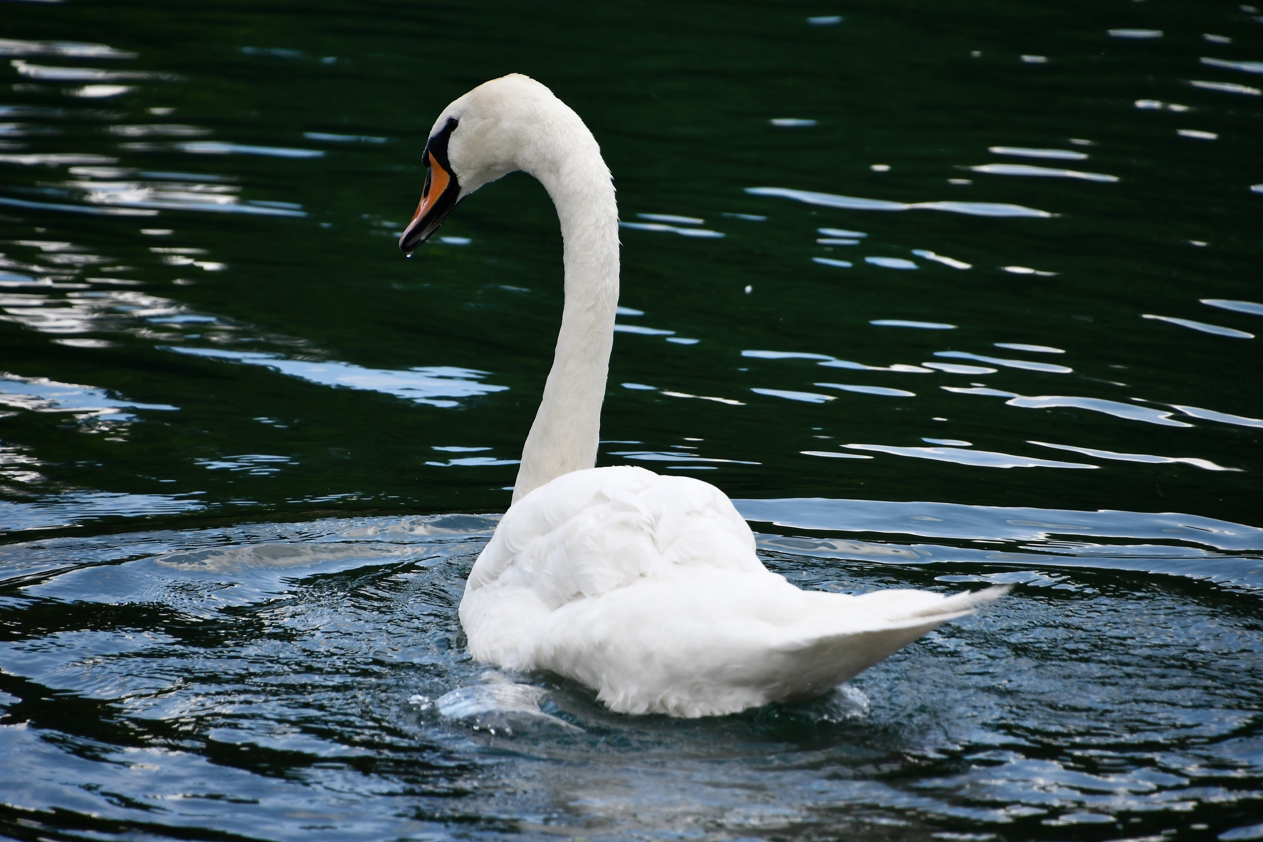 swans-03.08-8