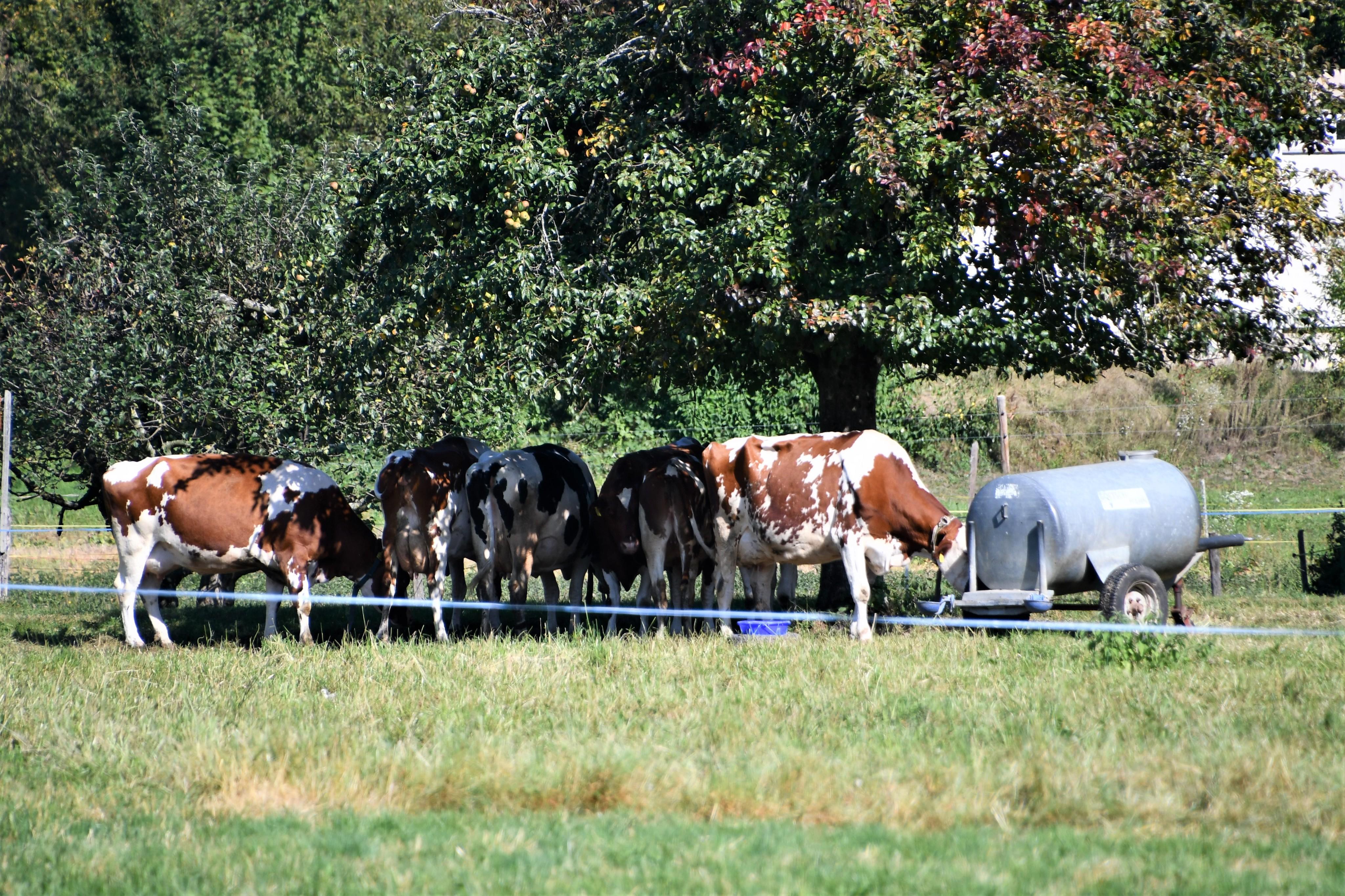 cows-17.09-4