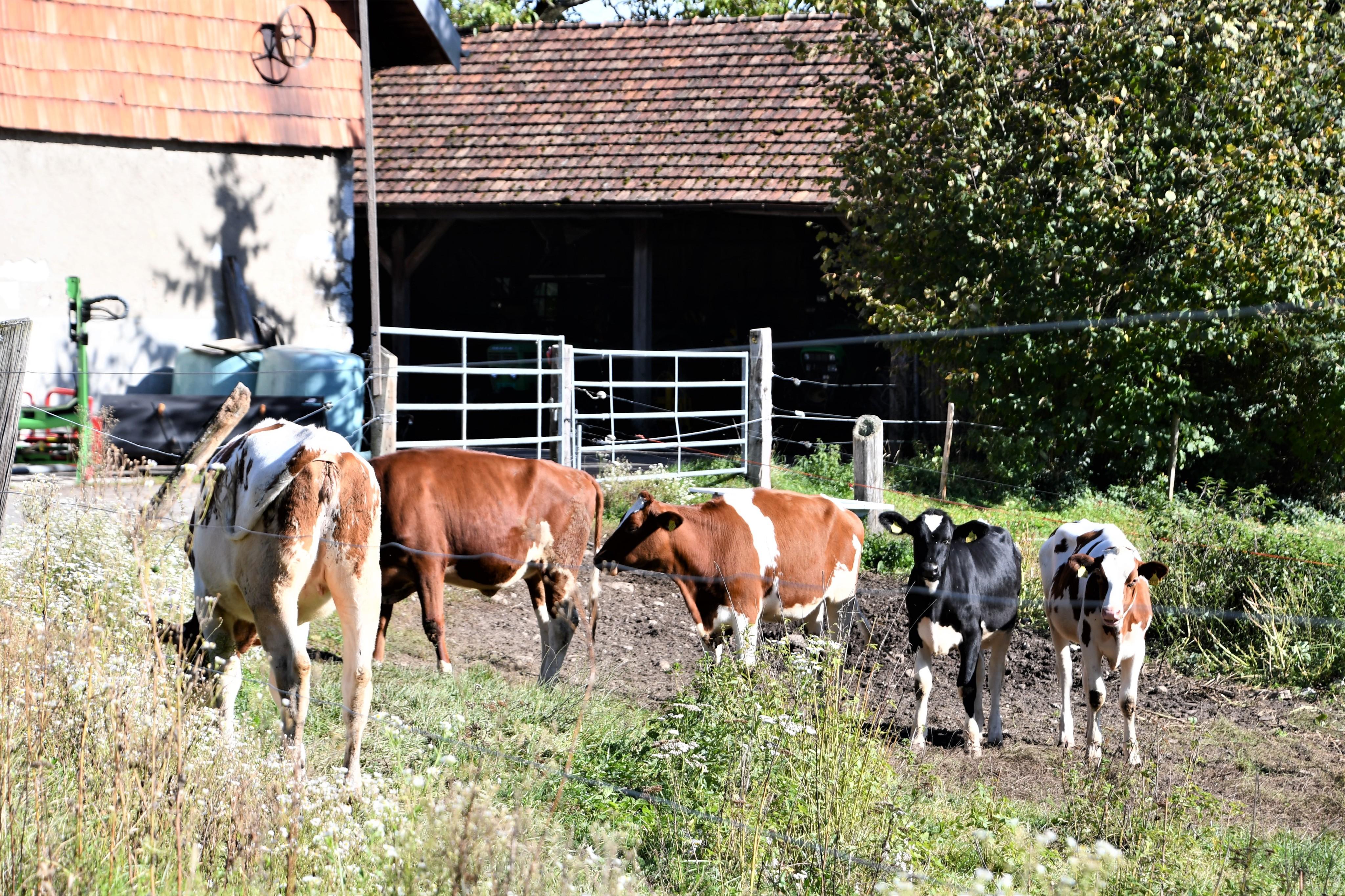 cows-29.099-3