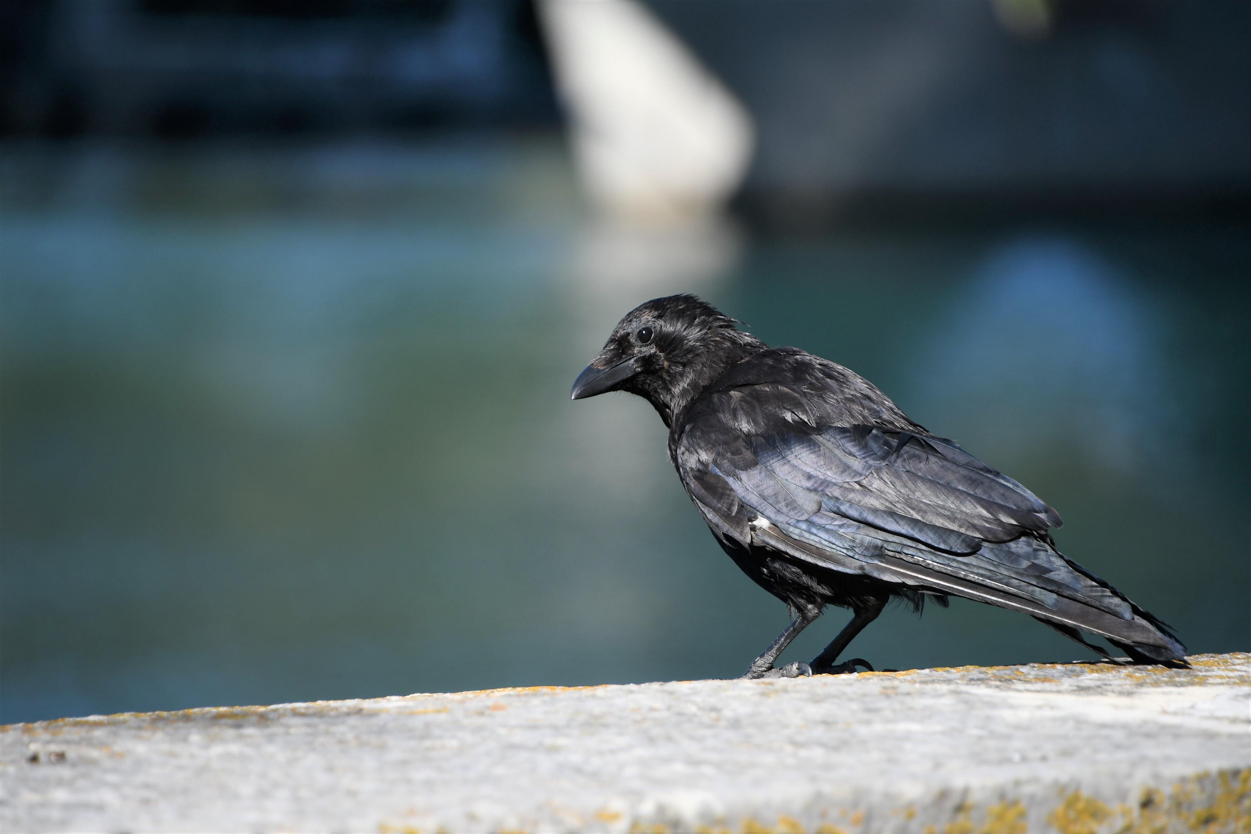 crow-12.09.2019