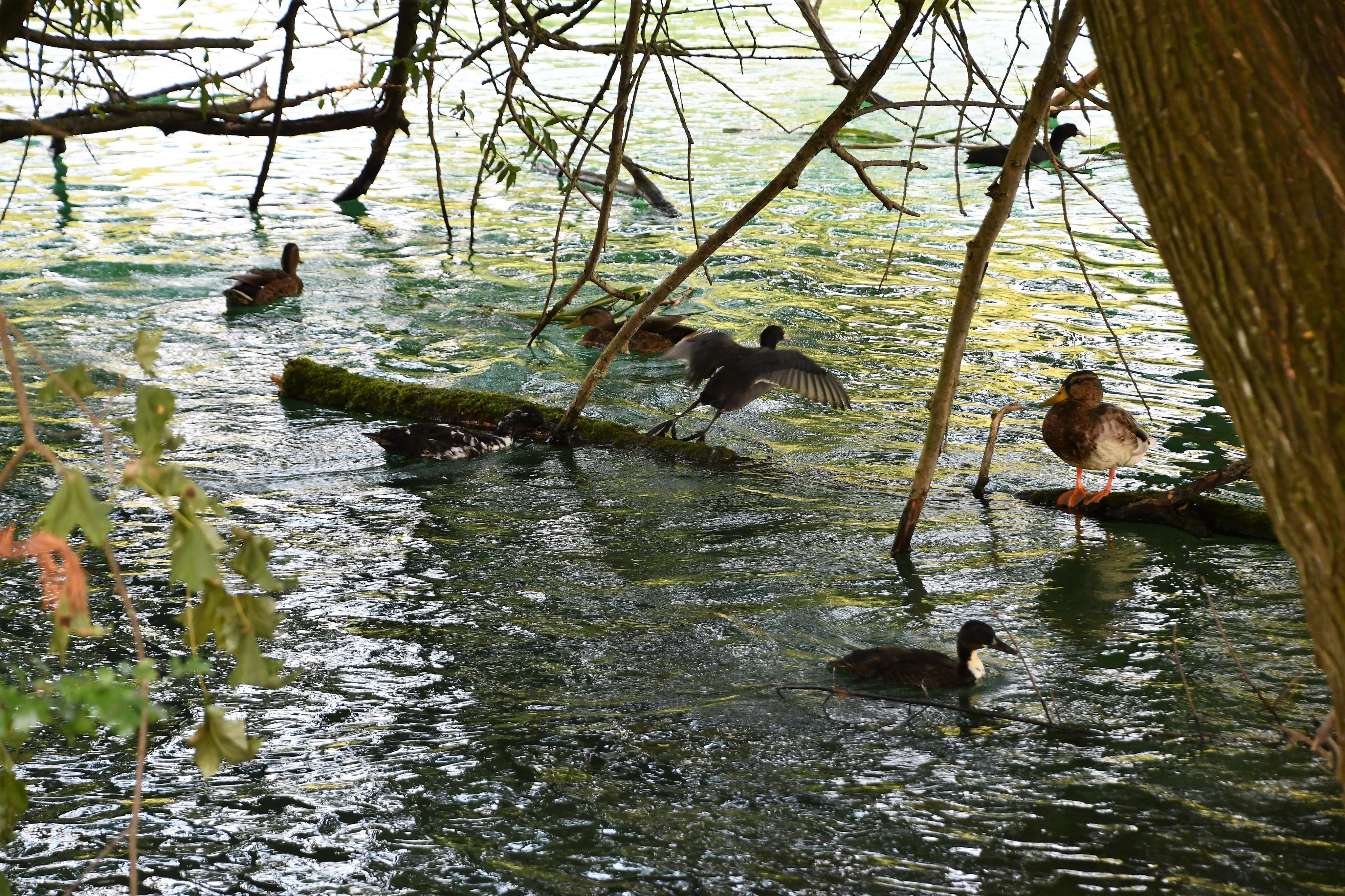 ducks-31.08-3