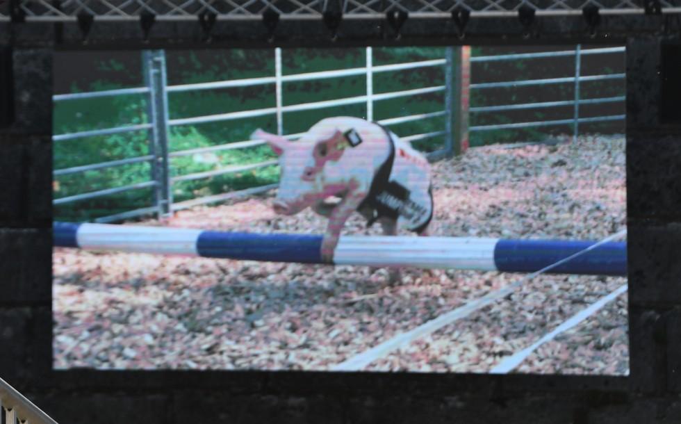 pig-racing-at-heso-2019-1