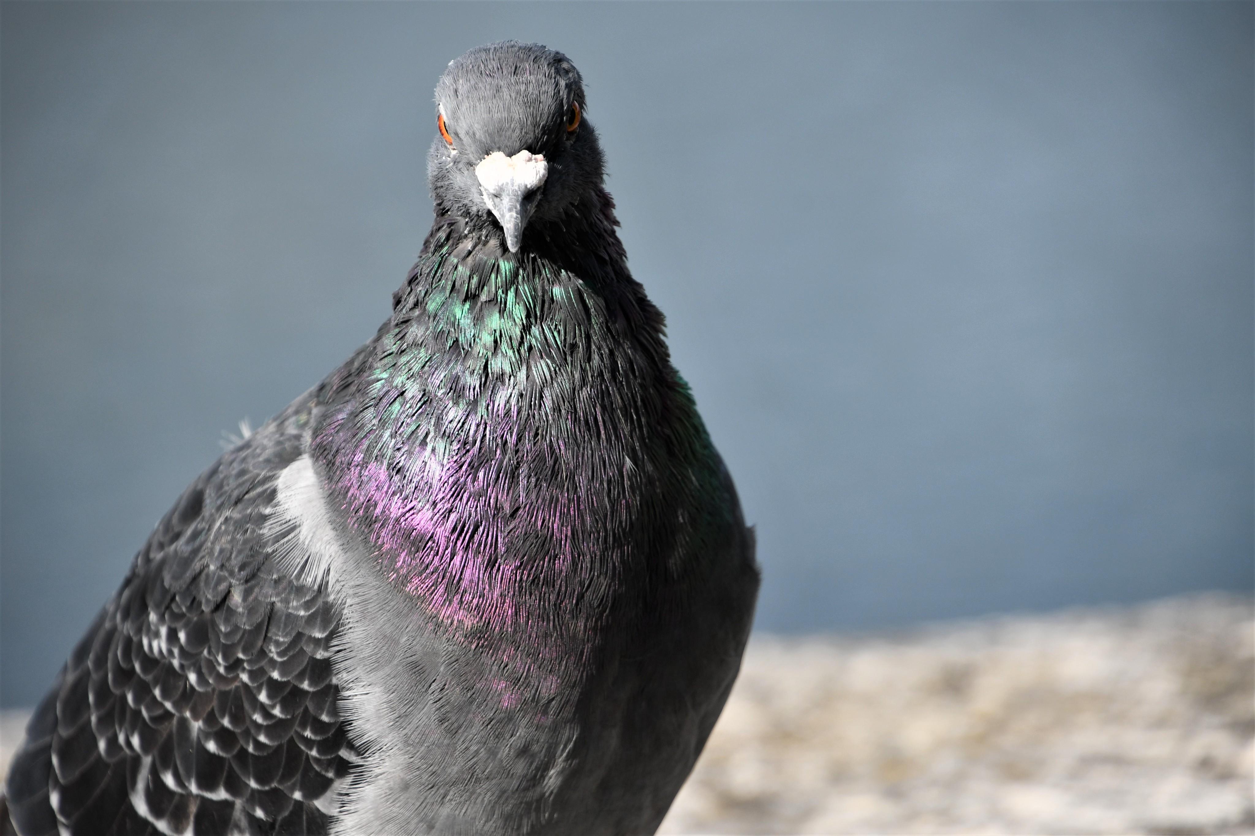 pigeons-28.09-1