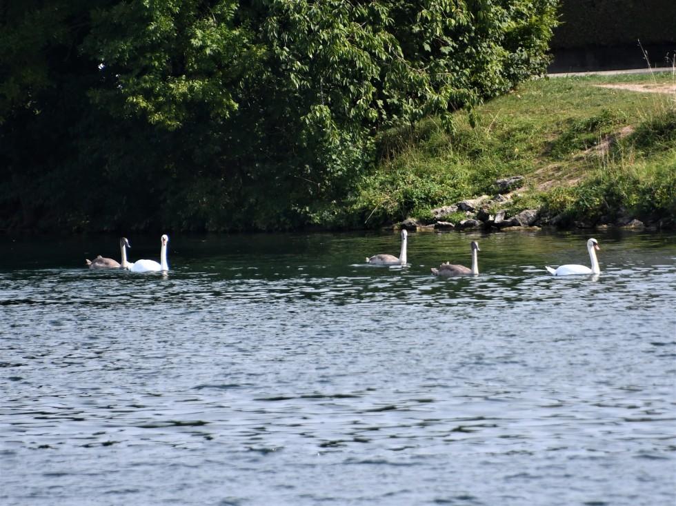 swans-14.09-2