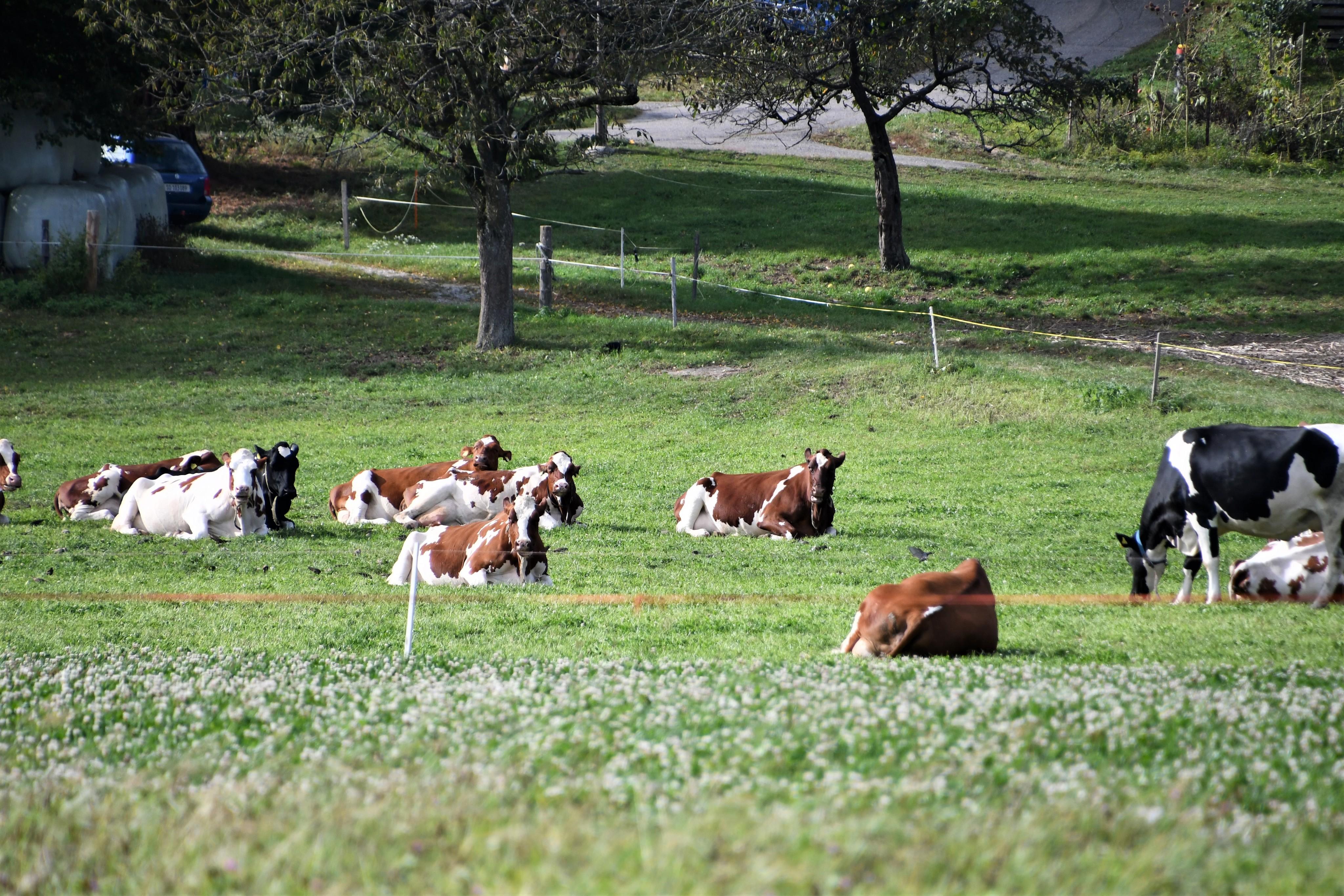 cows-29.099-1