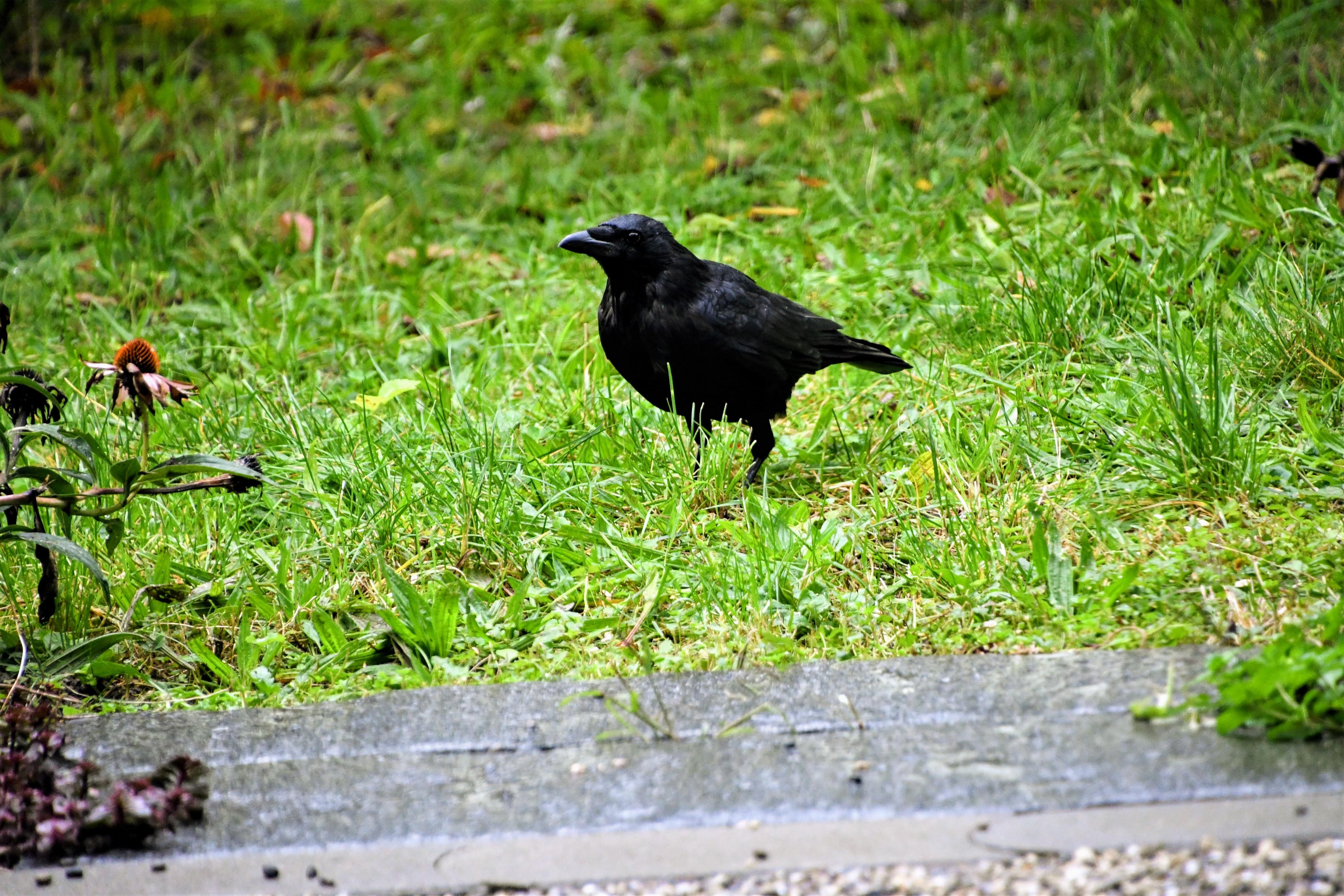 crow-10.10-1