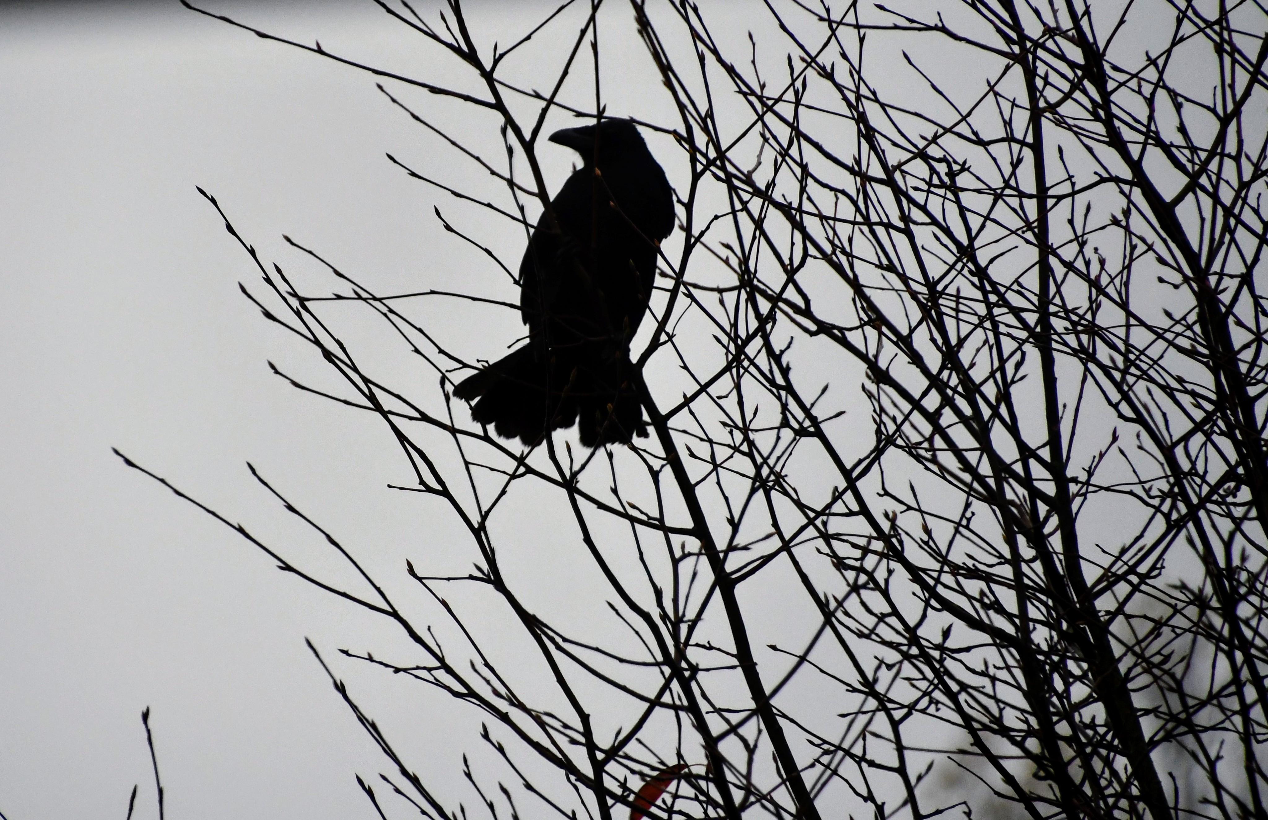 crow-29.10.2019