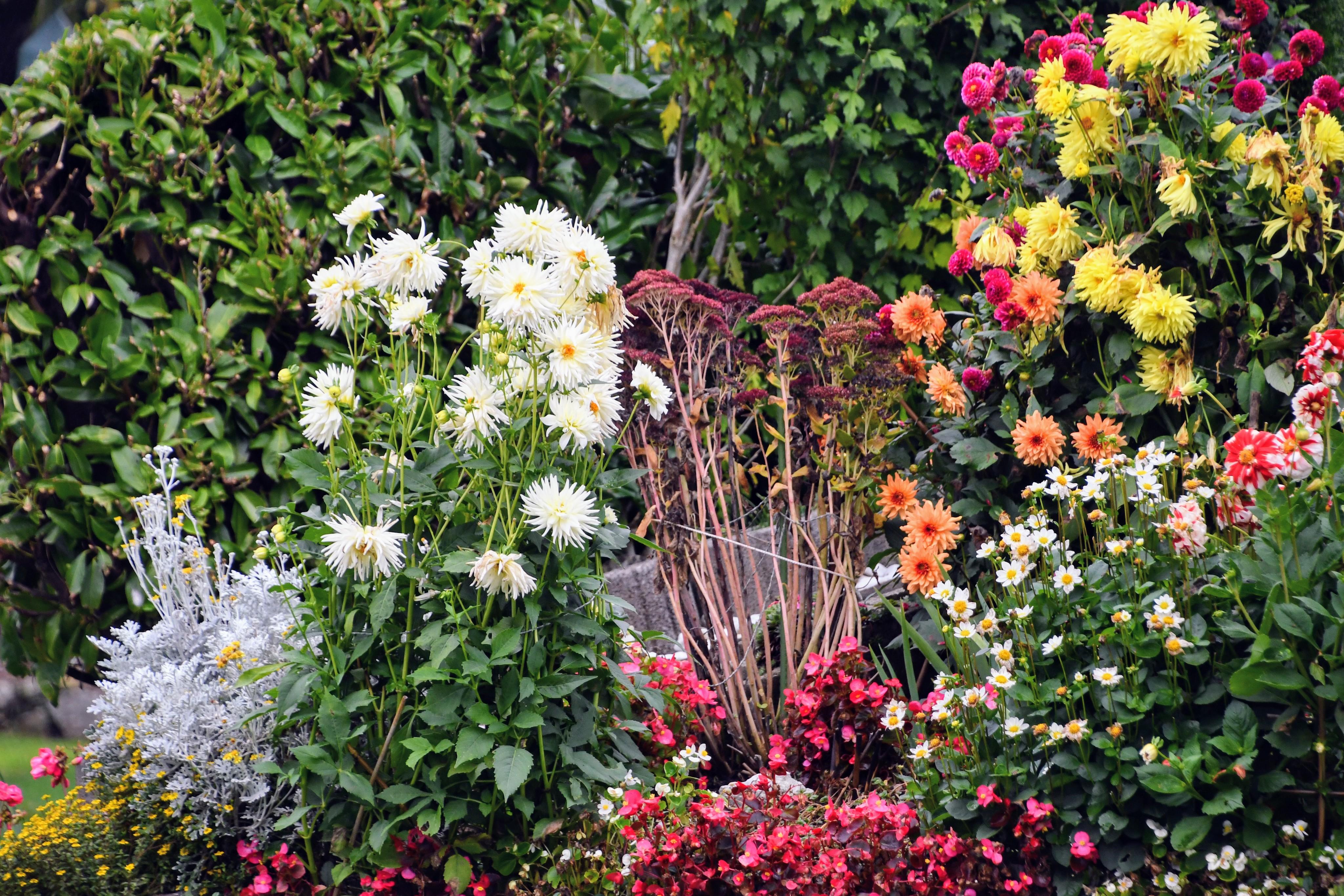 dahlia-chrysanthemum-and-autumn-flowerbed-20.10-1
