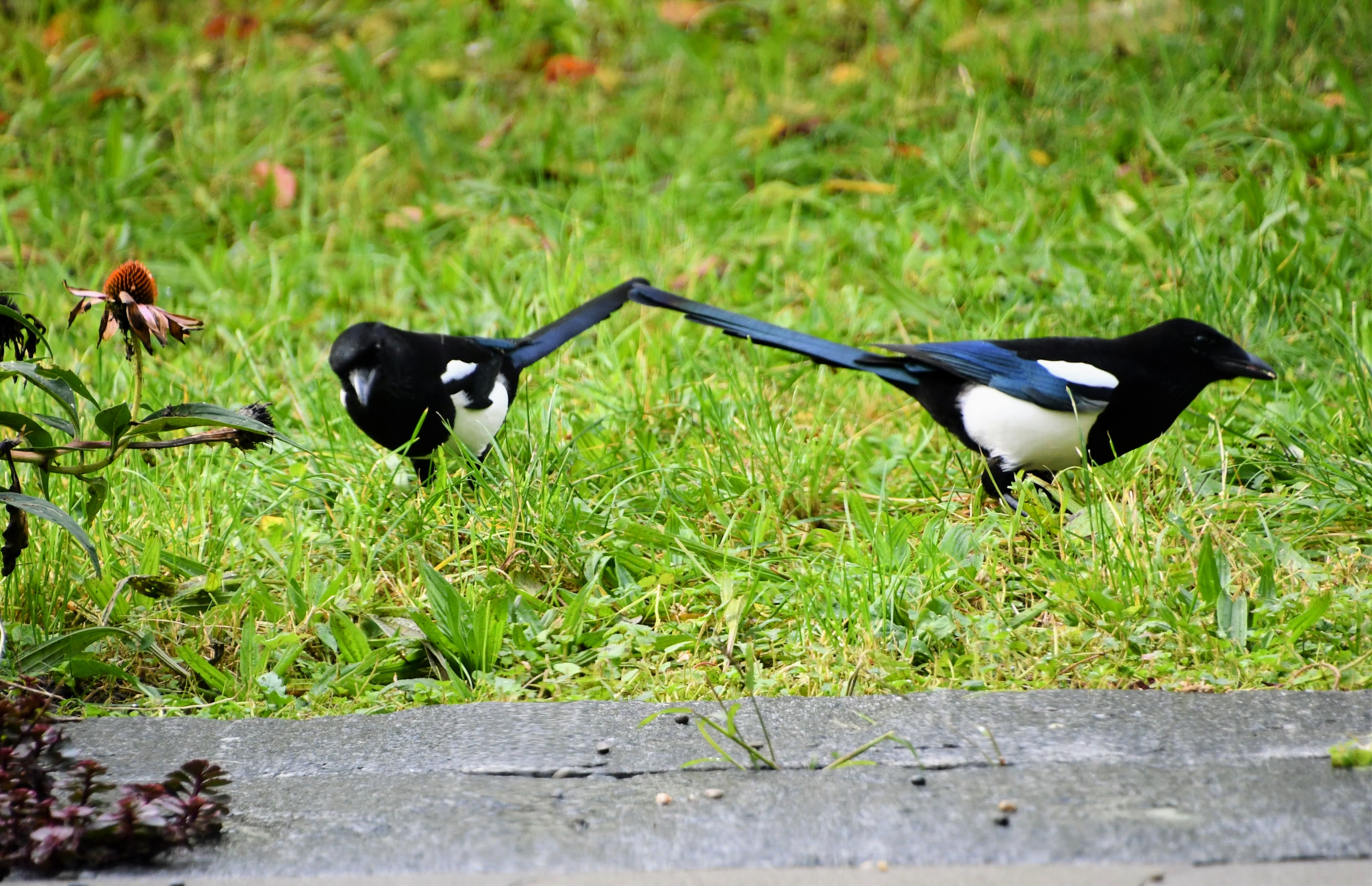 magpies-10.10-3