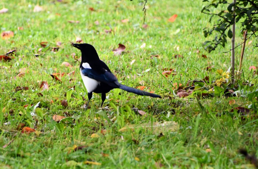 magpies-10.10-5