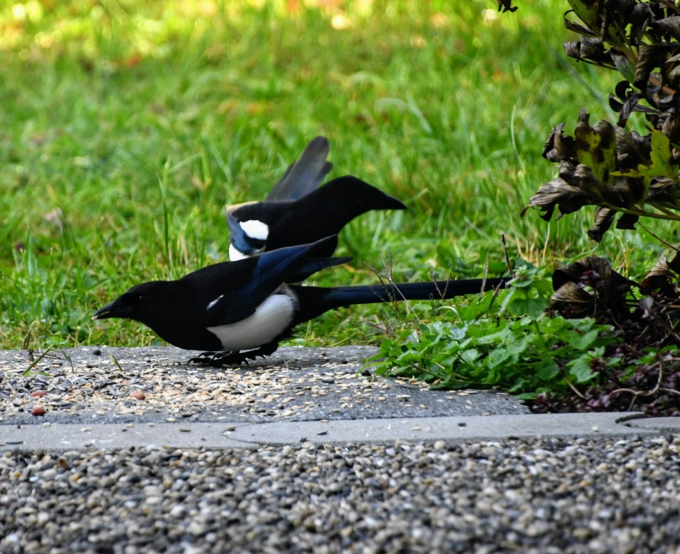 magpies-12.10-2