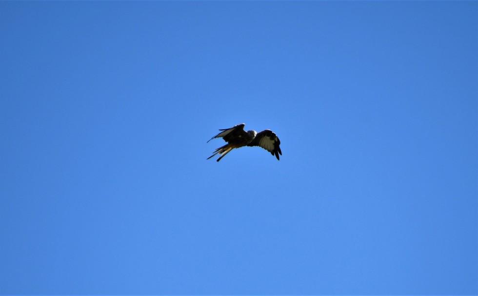 red-kite-29.09-4