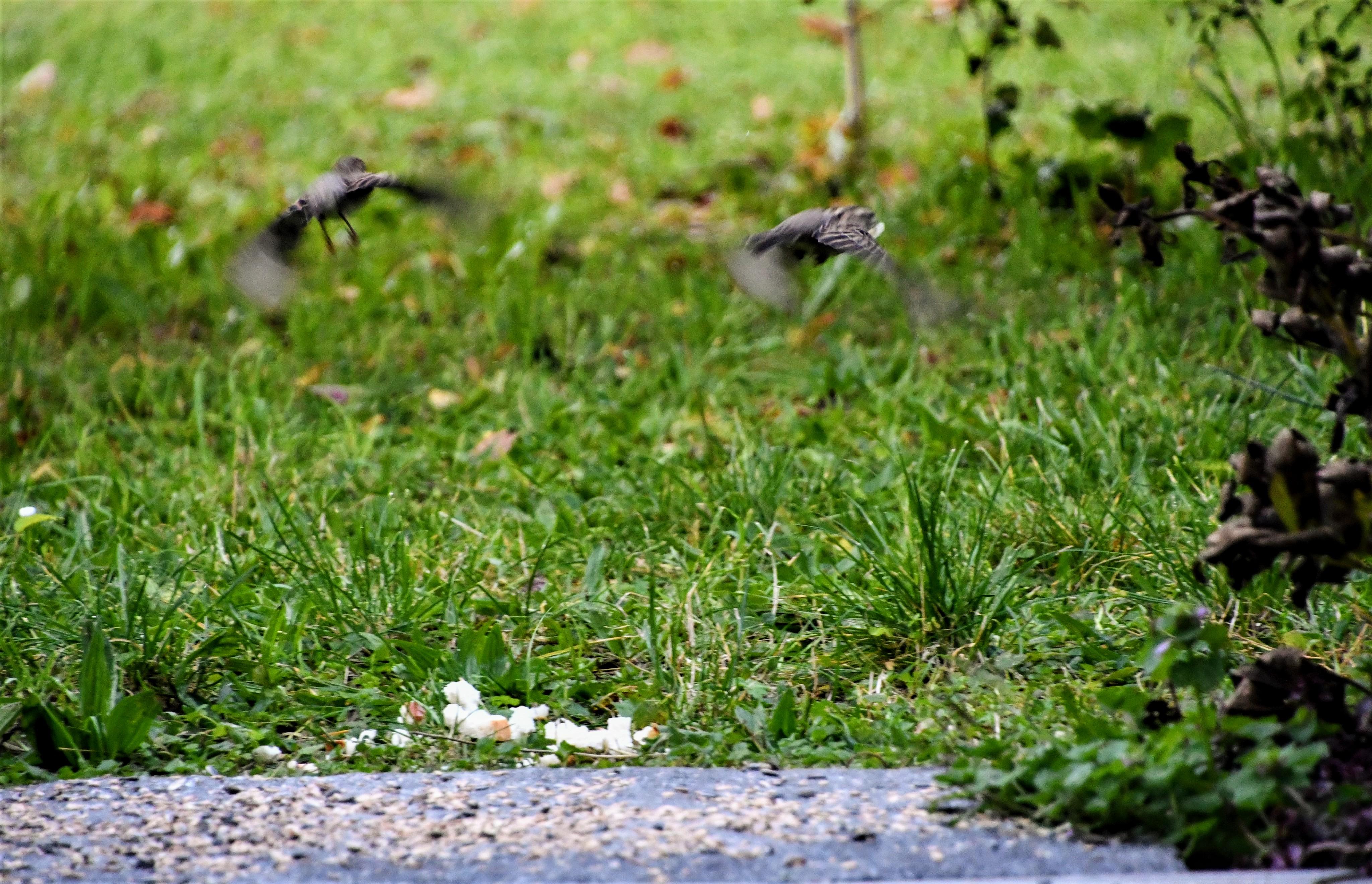 sparrows-17.10-1