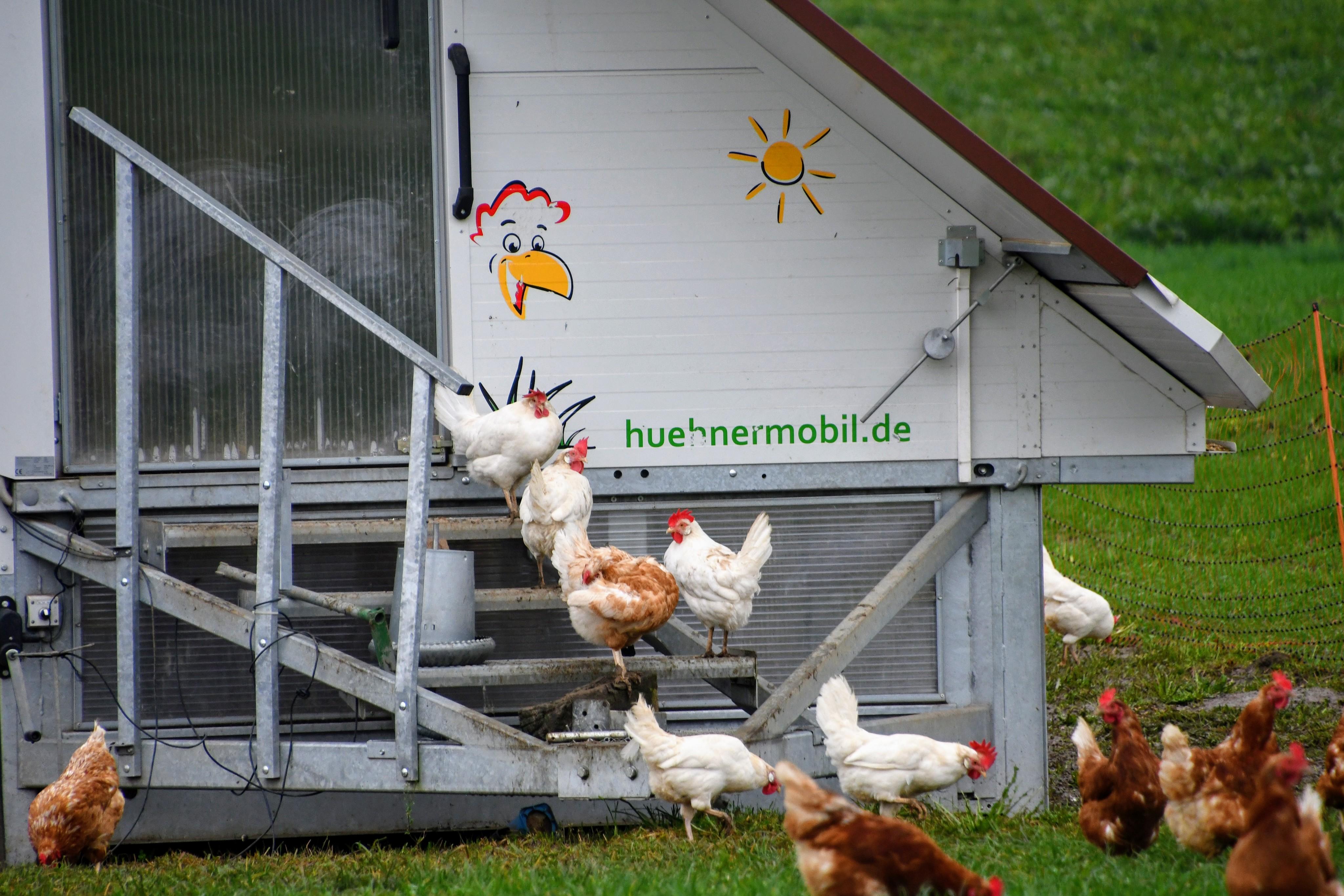 chickens-01.11-2