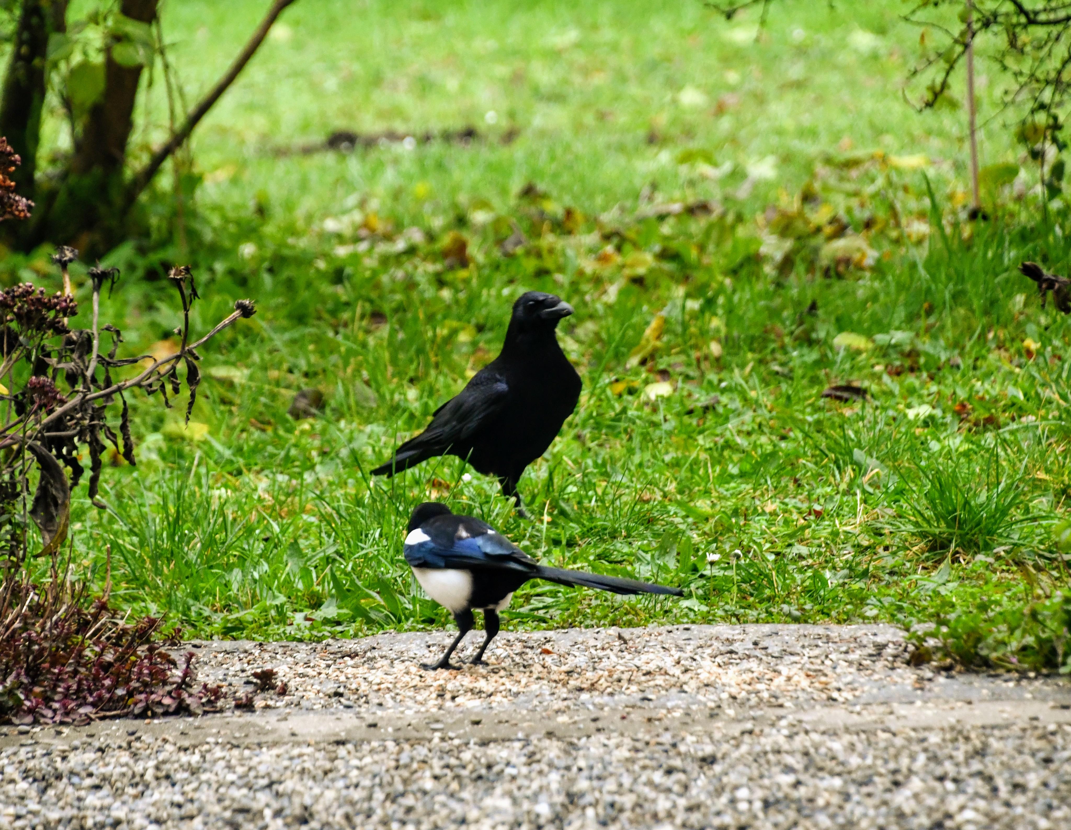 crow-09.11-3