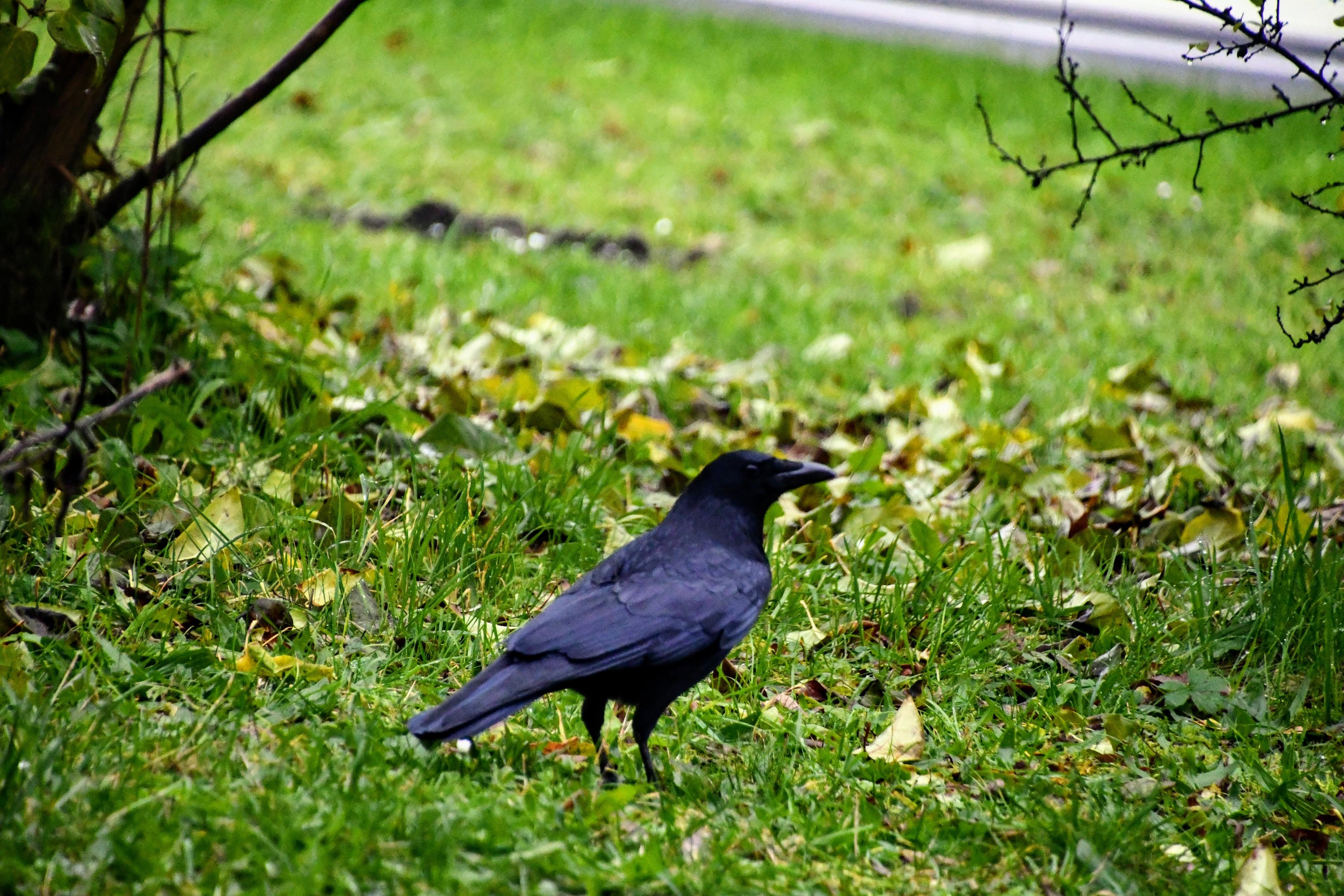 crow-15.11-1