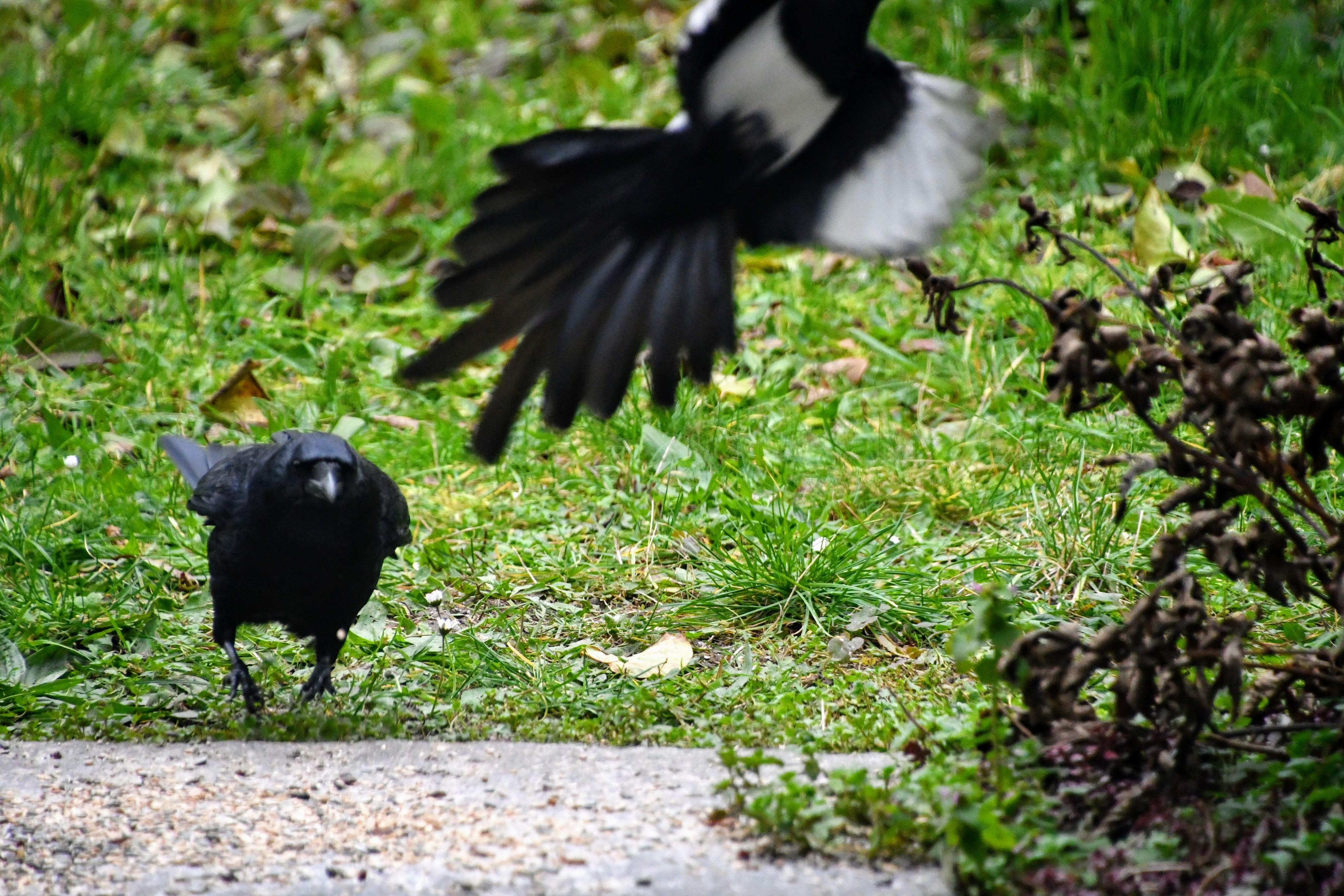 crow-22.11.2019