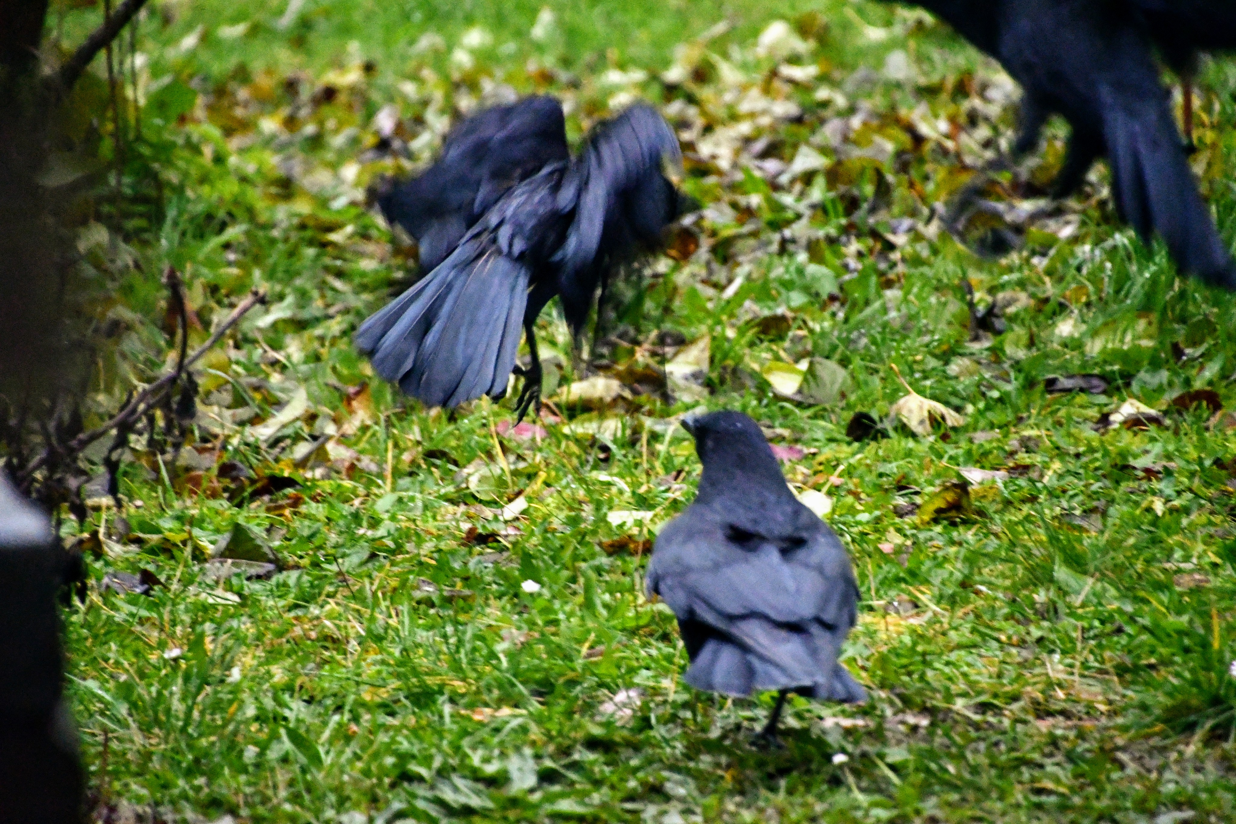 crow-29.11-5