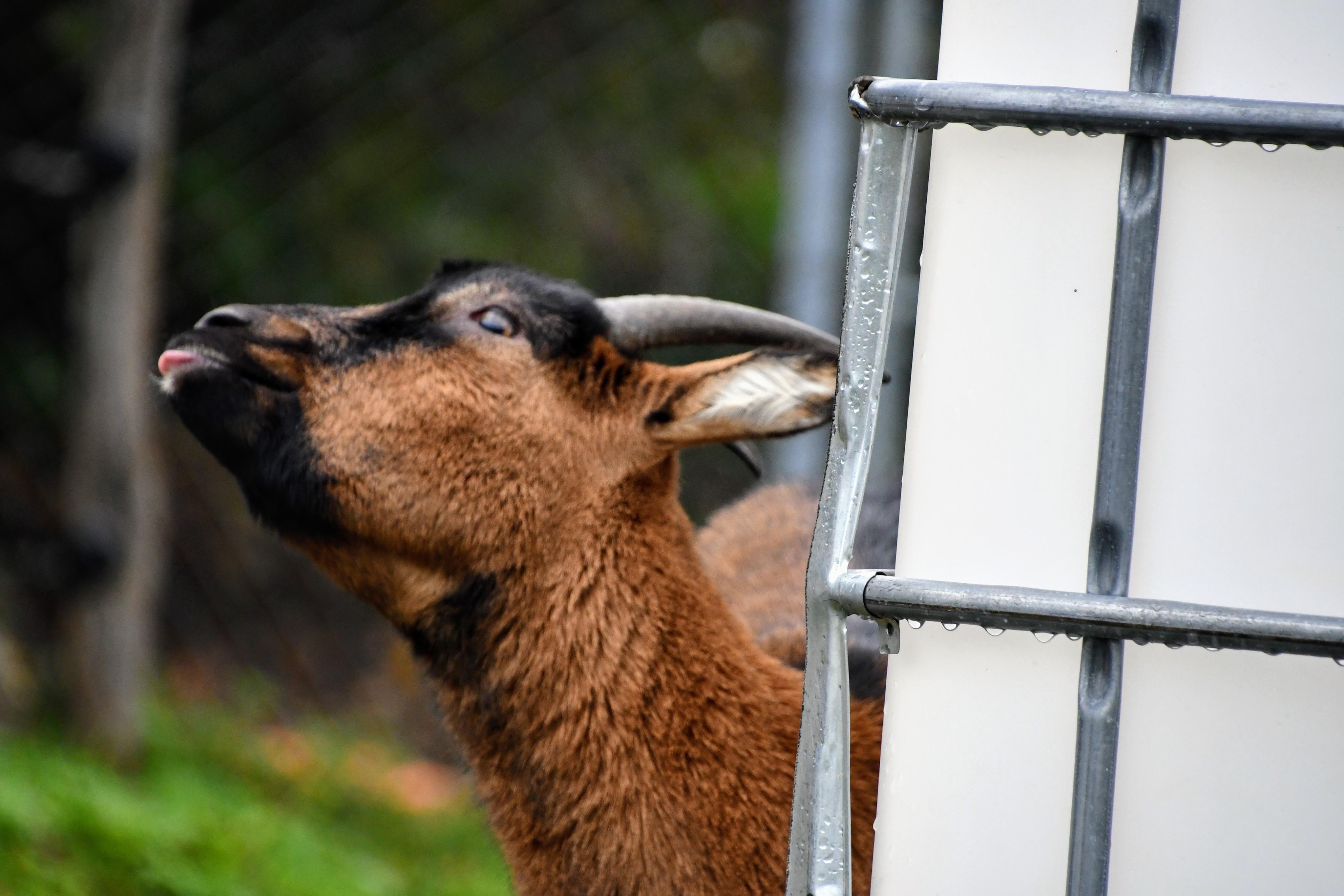 goat-01.11-1