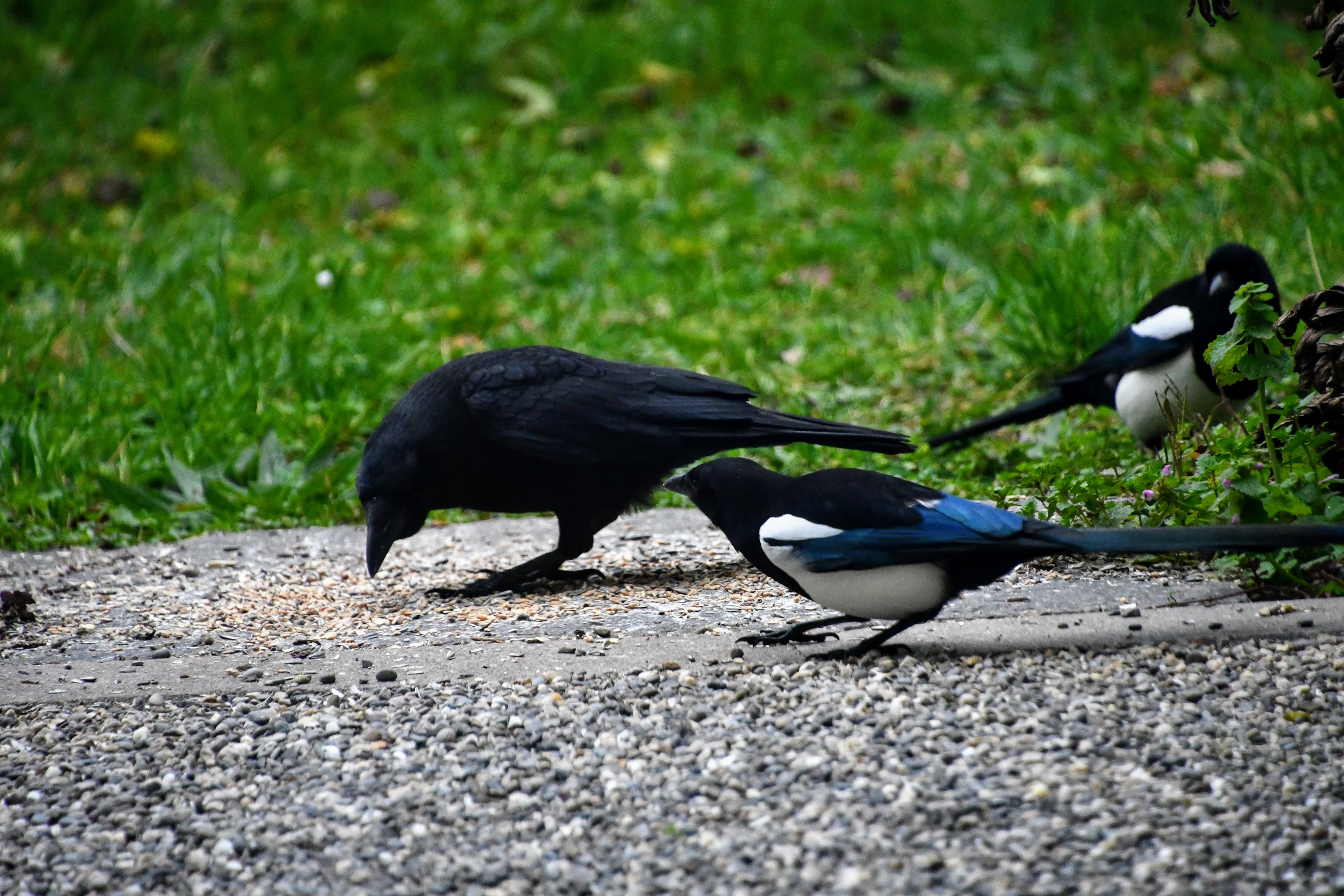 magpie-and-crow-11.11-1