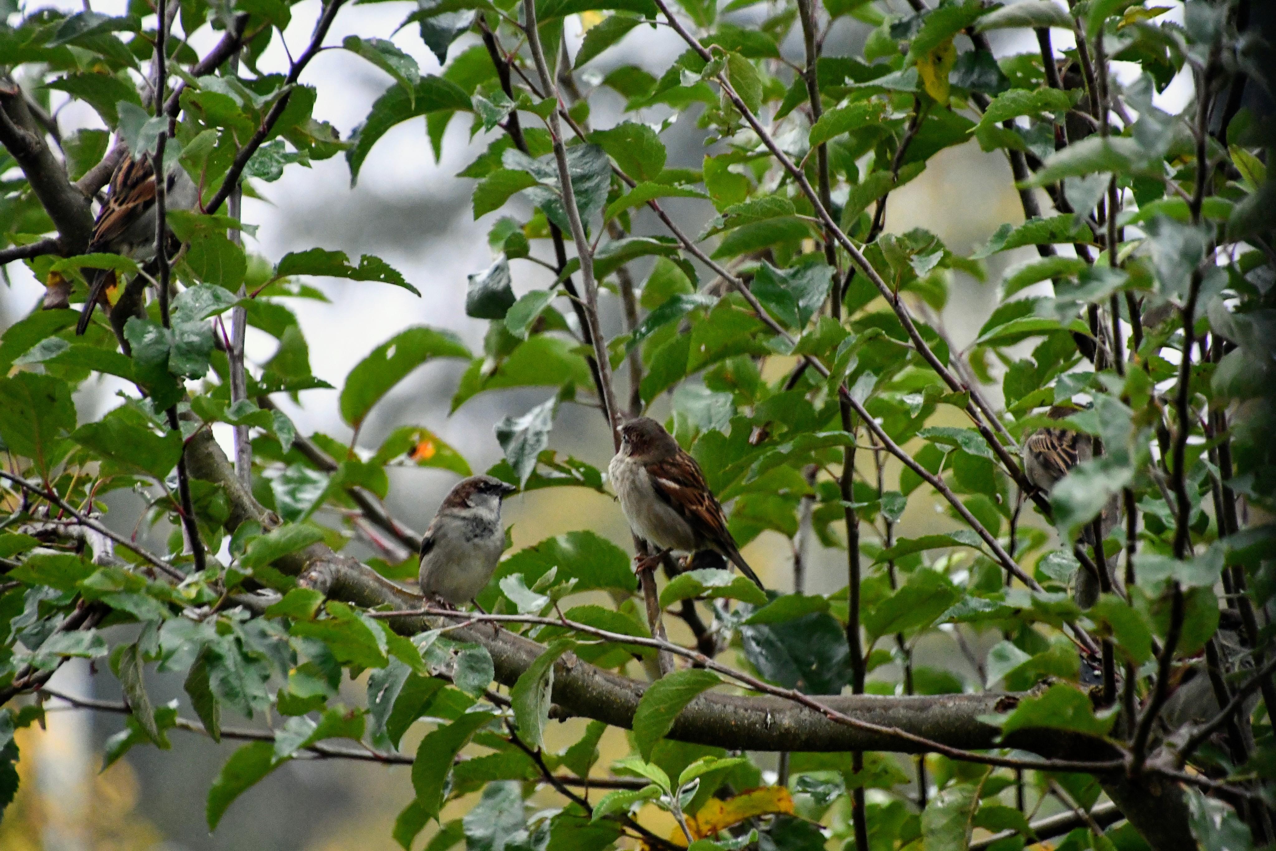 sparrow-10.11-3