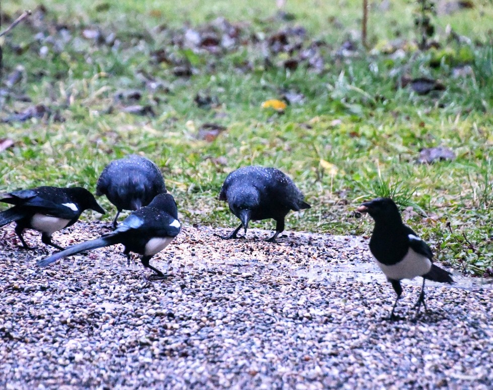 crows-and-magpies-22.12-1-1
