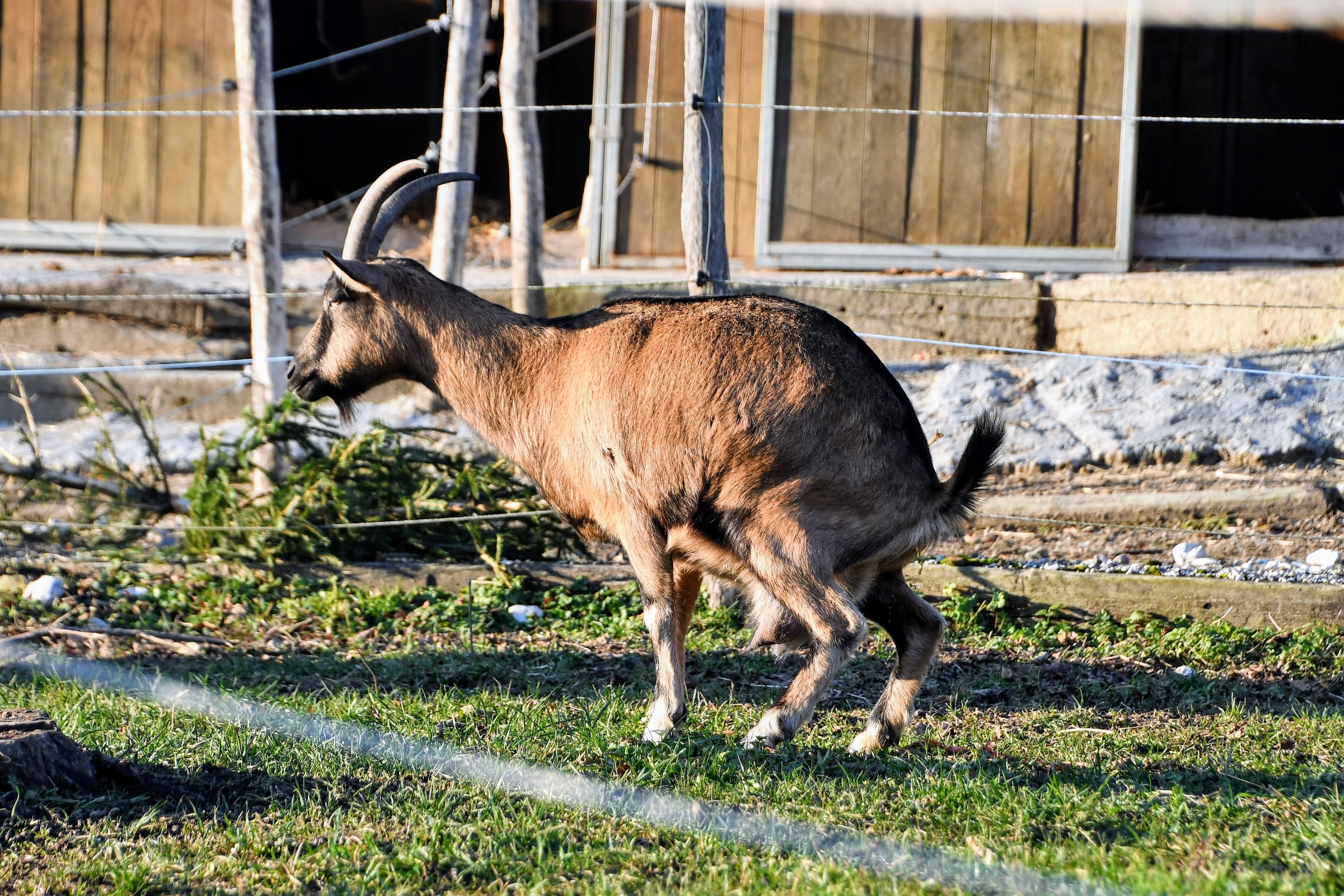 goat-29.12-2