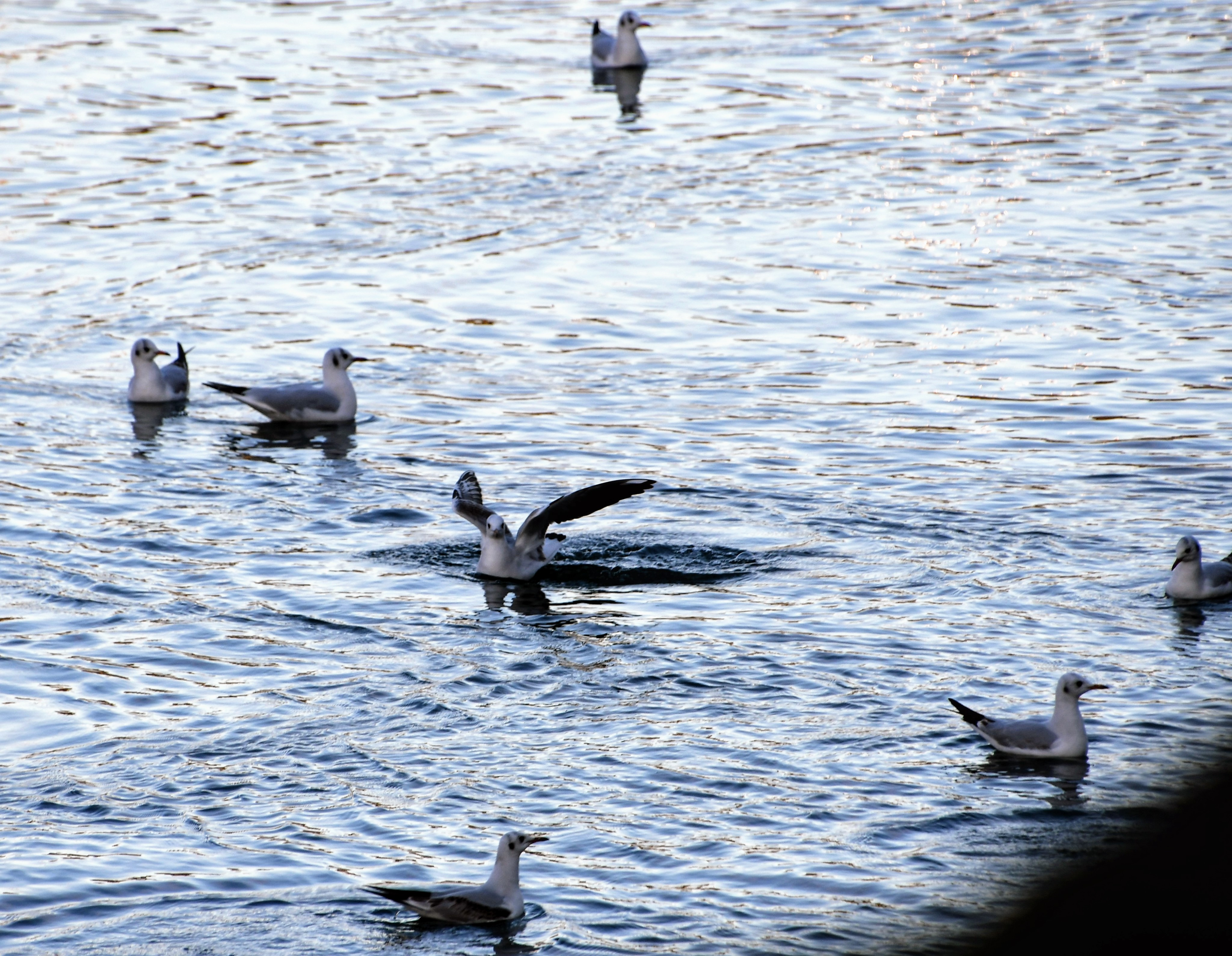 gulls-21.12-2