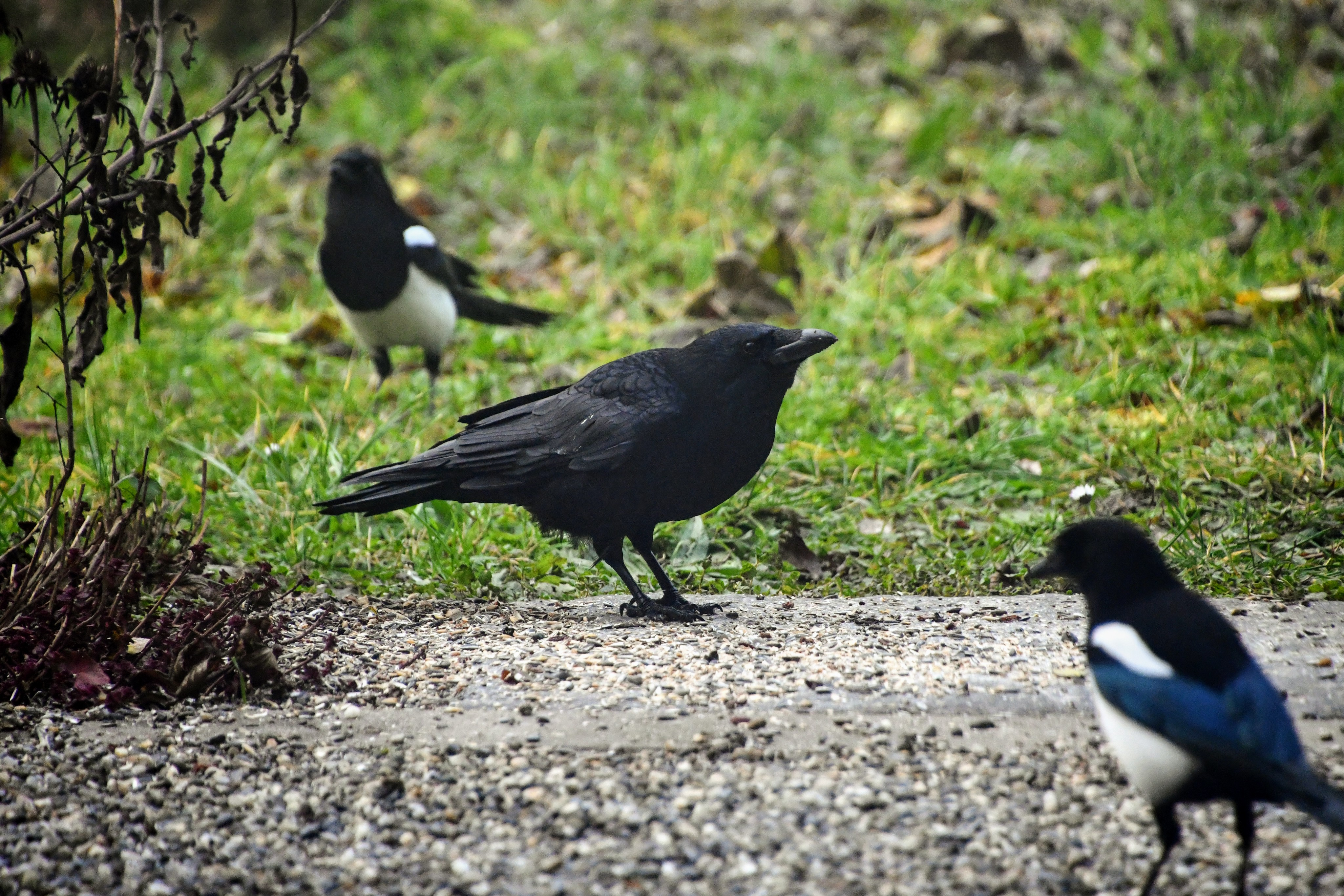 magpies-08.12-4