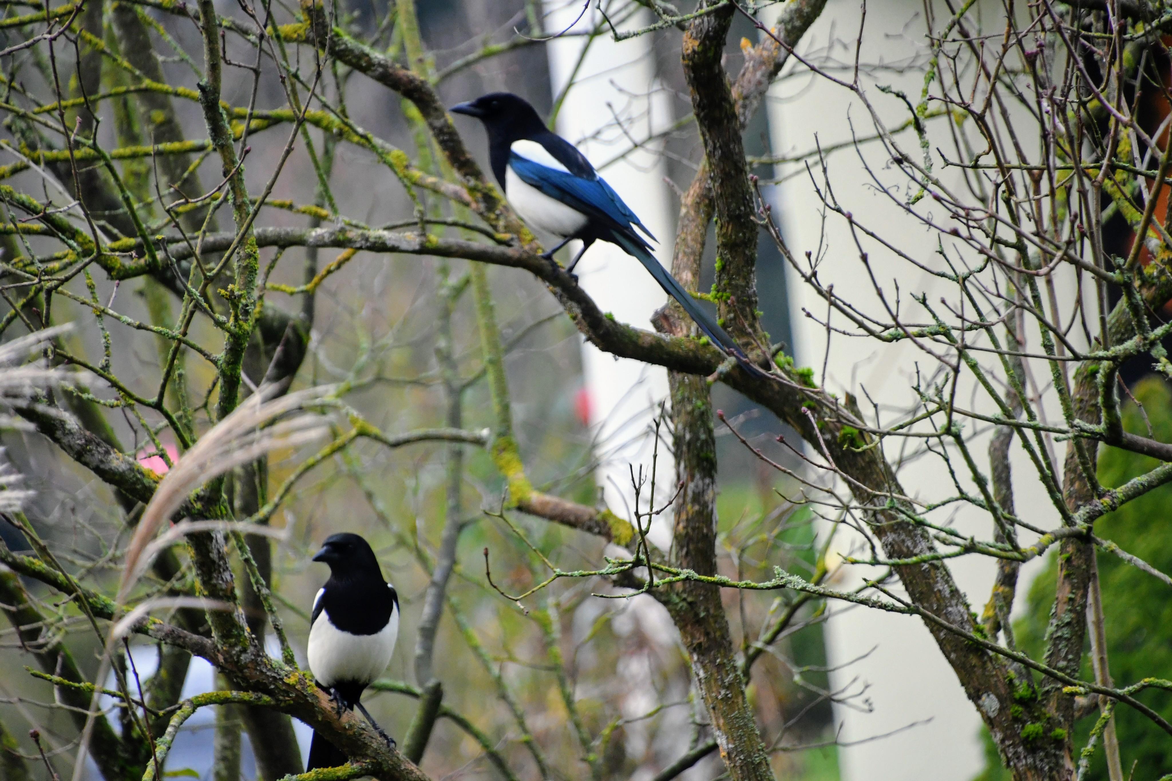 magpies-18.12-1